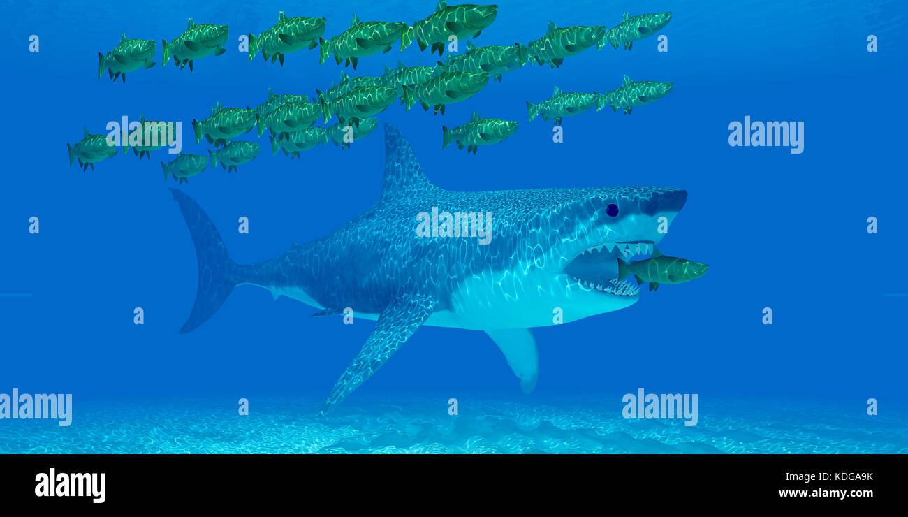 Megalodon Undersea - un enorme squalo Megalodon sneaks dietro un Salmone Chinook come si allontana da una scuola Immagini Stock