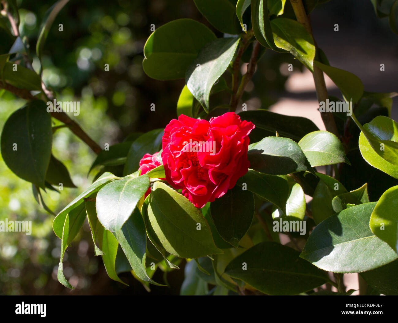 Bud camellia flower. Camelia japonica in gaden, Spagna. Immagini Stock