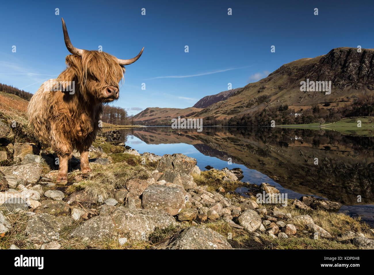 Highland bestiame al lago a Buttermere Lake, nel distretto del lago, Cumbria, England, Regno Unito Immagini Stock