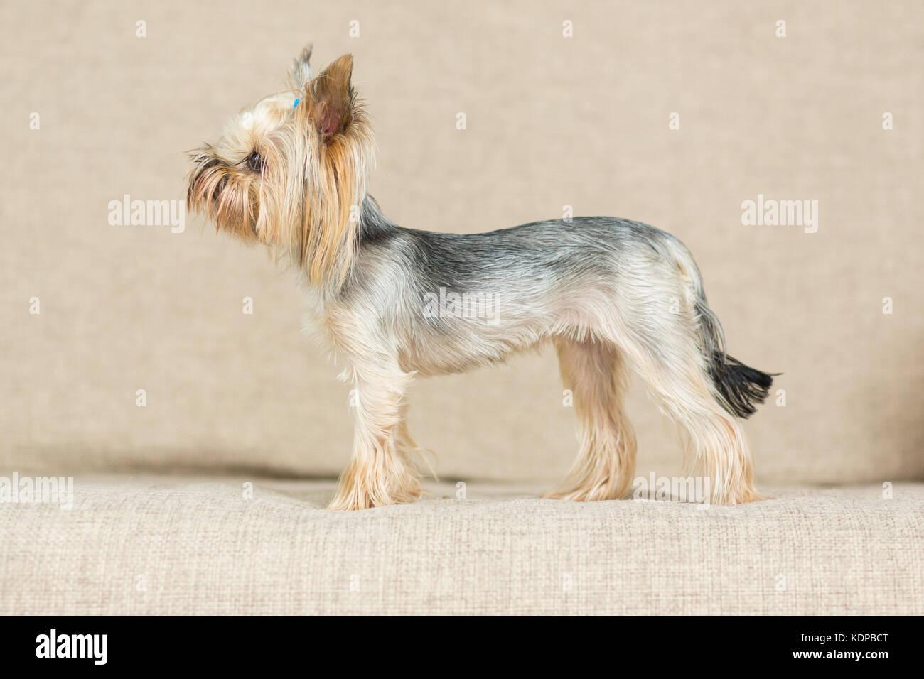 Yorkshire terrier con un taglio di capelli corto è sul lettino