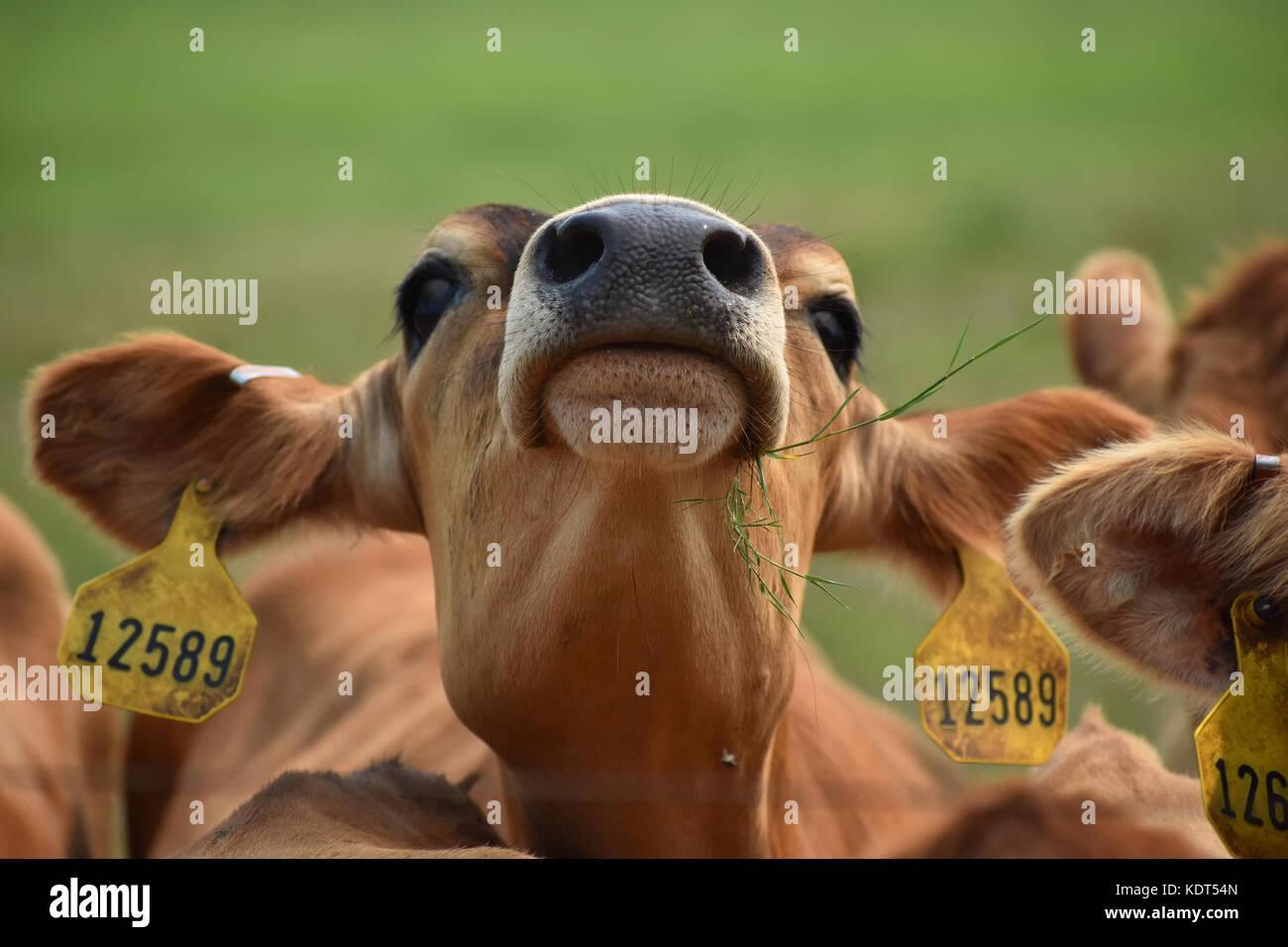 Mucca con la sua testa in aria mangiare erba indossando le etichette di identificazione Immagini Stock