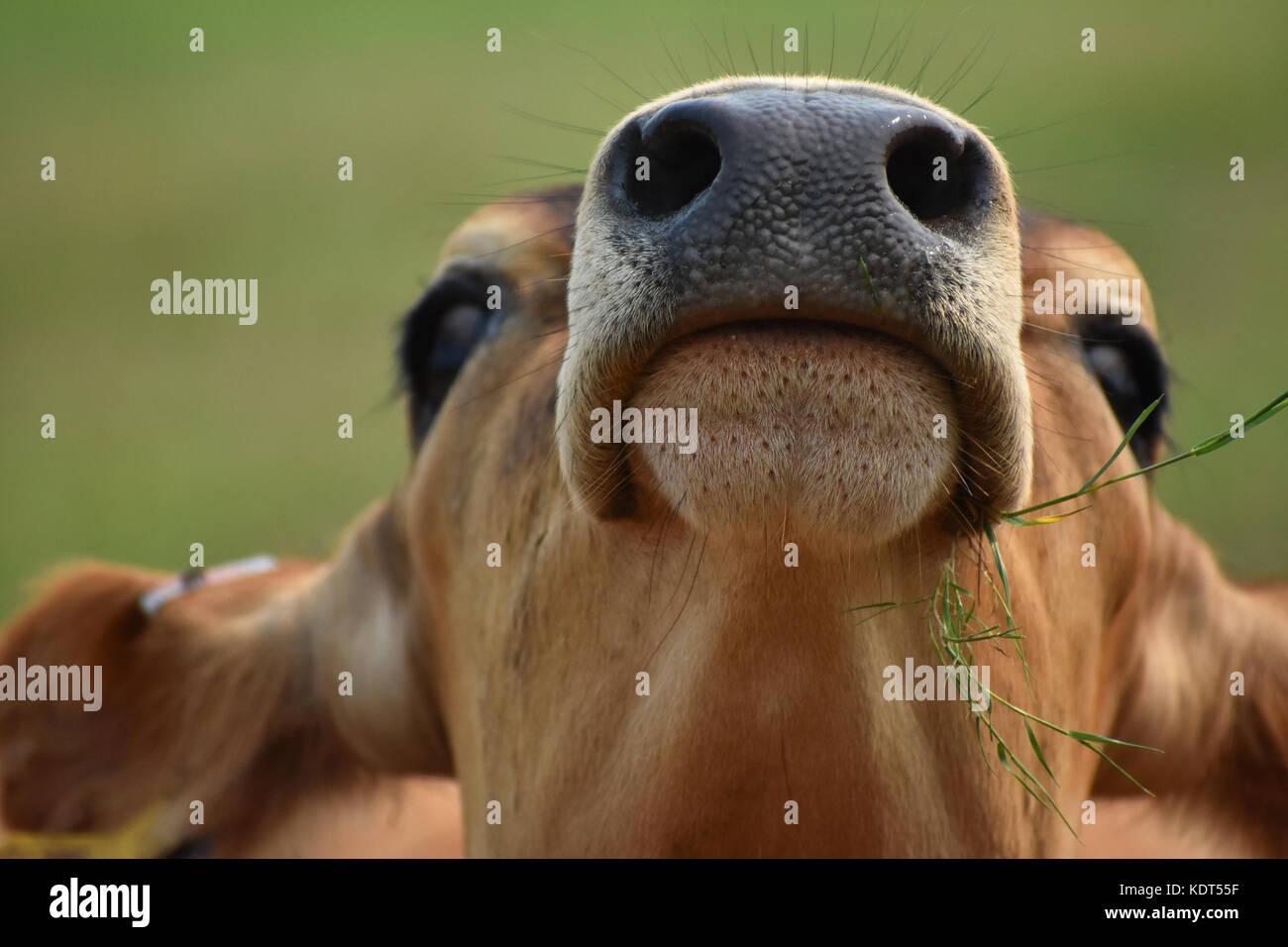 Mucca mangiare erba con testa in aria che mostra le sue narici e bocca closeup. Le mucche di testa è inclinata Immagini Stock