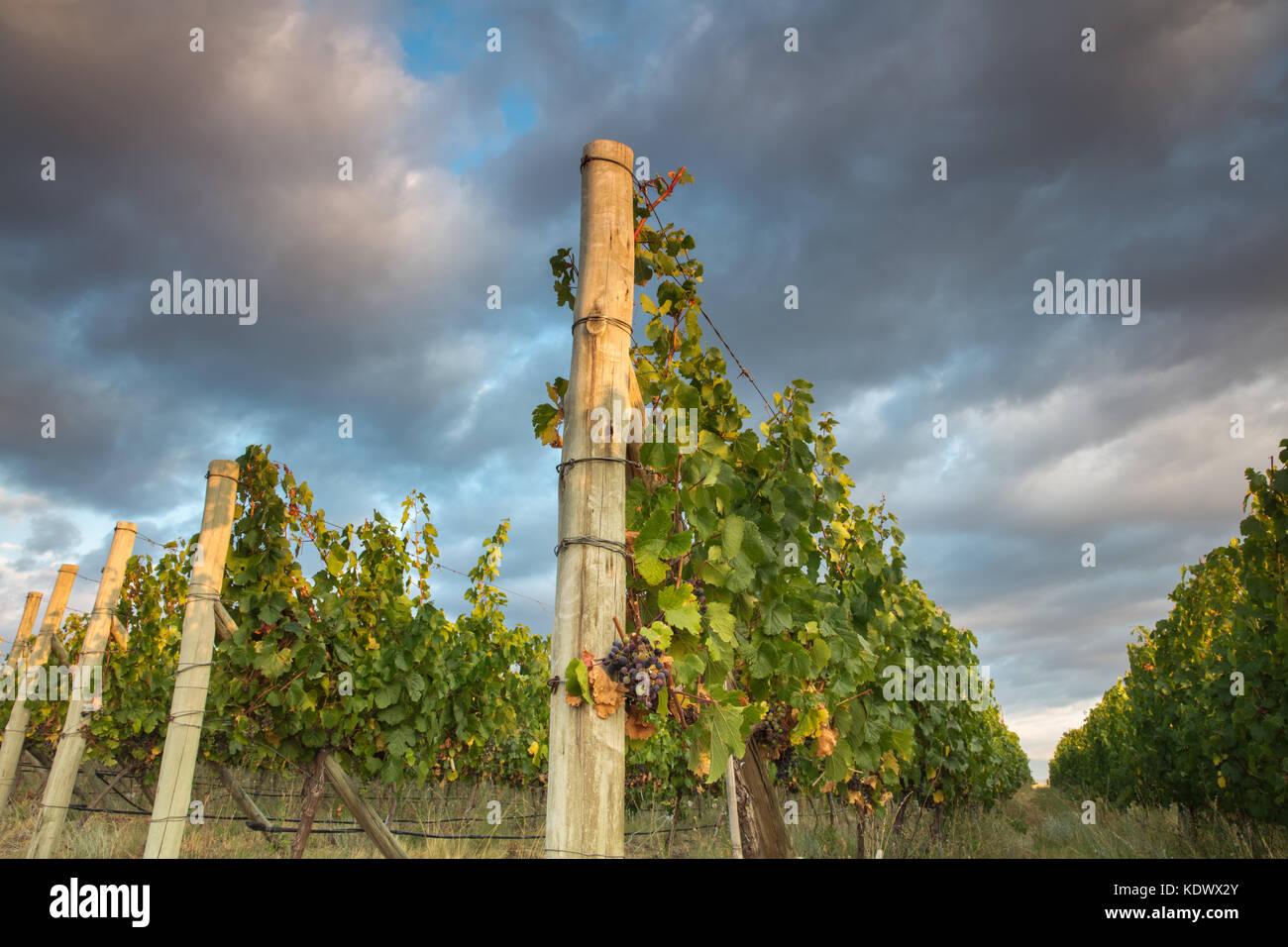Maturazione delle uve nei vigneti della Valle di Uco nr Tupungato, provincia di Mendoza, Argentina Immagini Stock