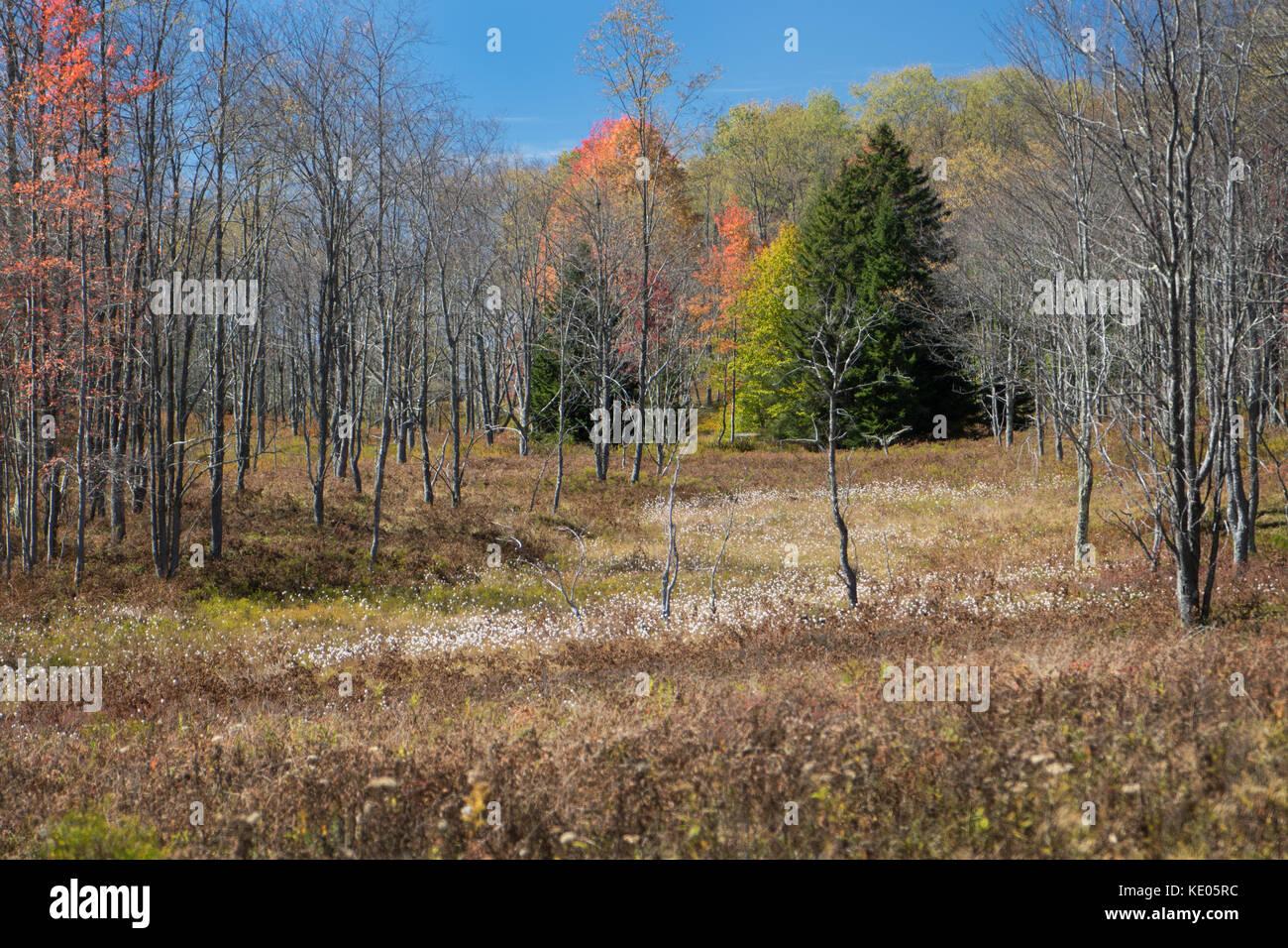 Un cerotto di erba di cotone contrasta con le erbe e gli alberi marroni che mostrano il fogliame colorato dell'autunno nel Canaan Valley Wildlife Refuge della West Virginia. Foto Stock