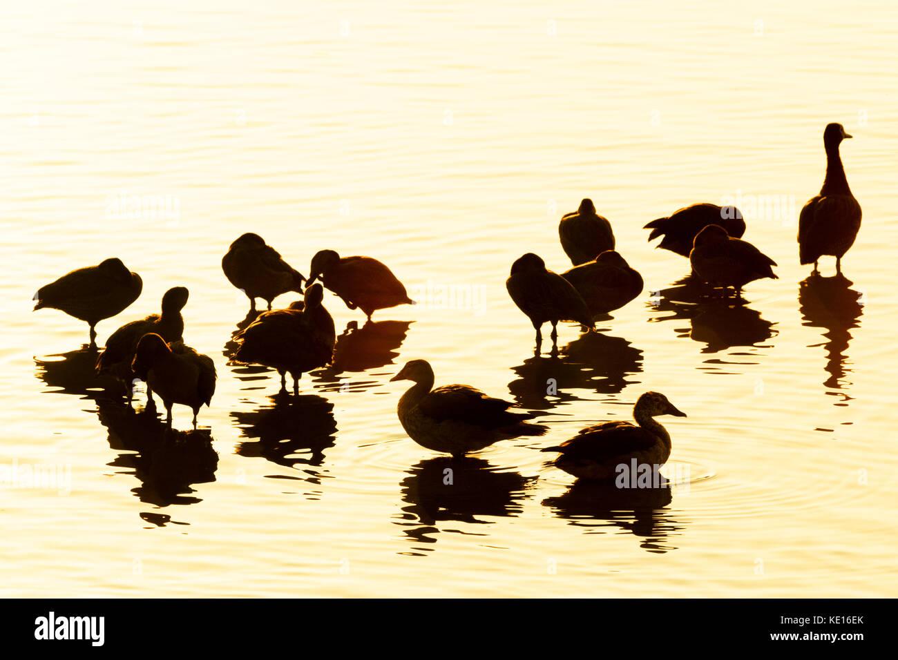 Di fronte bianco-sibili anatra (dendrocygna viduata) in piedi in acqua con la riflessione al tramonto, il parco Immagini Stock