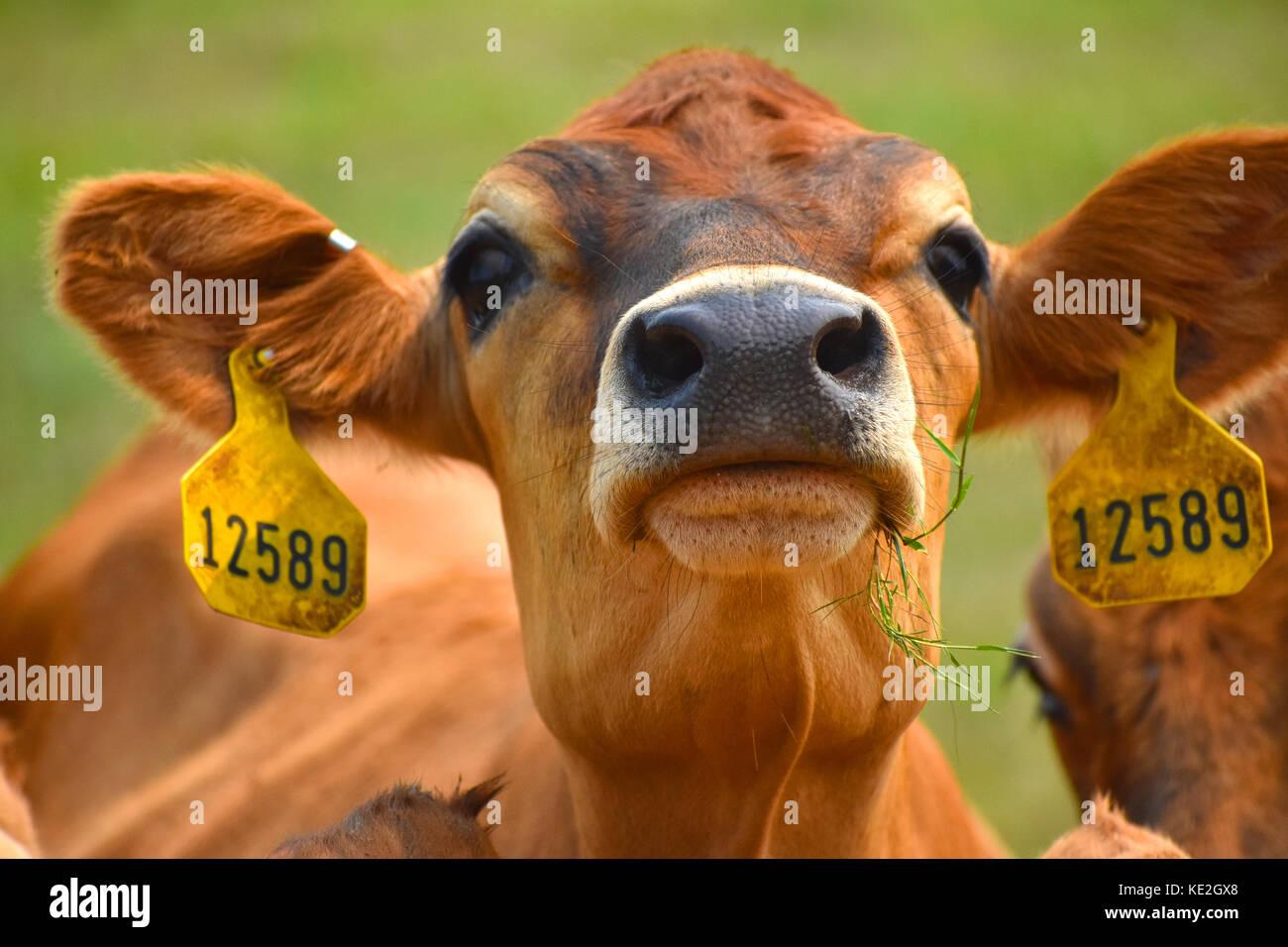 Mucca per viso e testa closeup con tag in le sue orecchie mostrando il suo numero di identificazione Immagini Stock