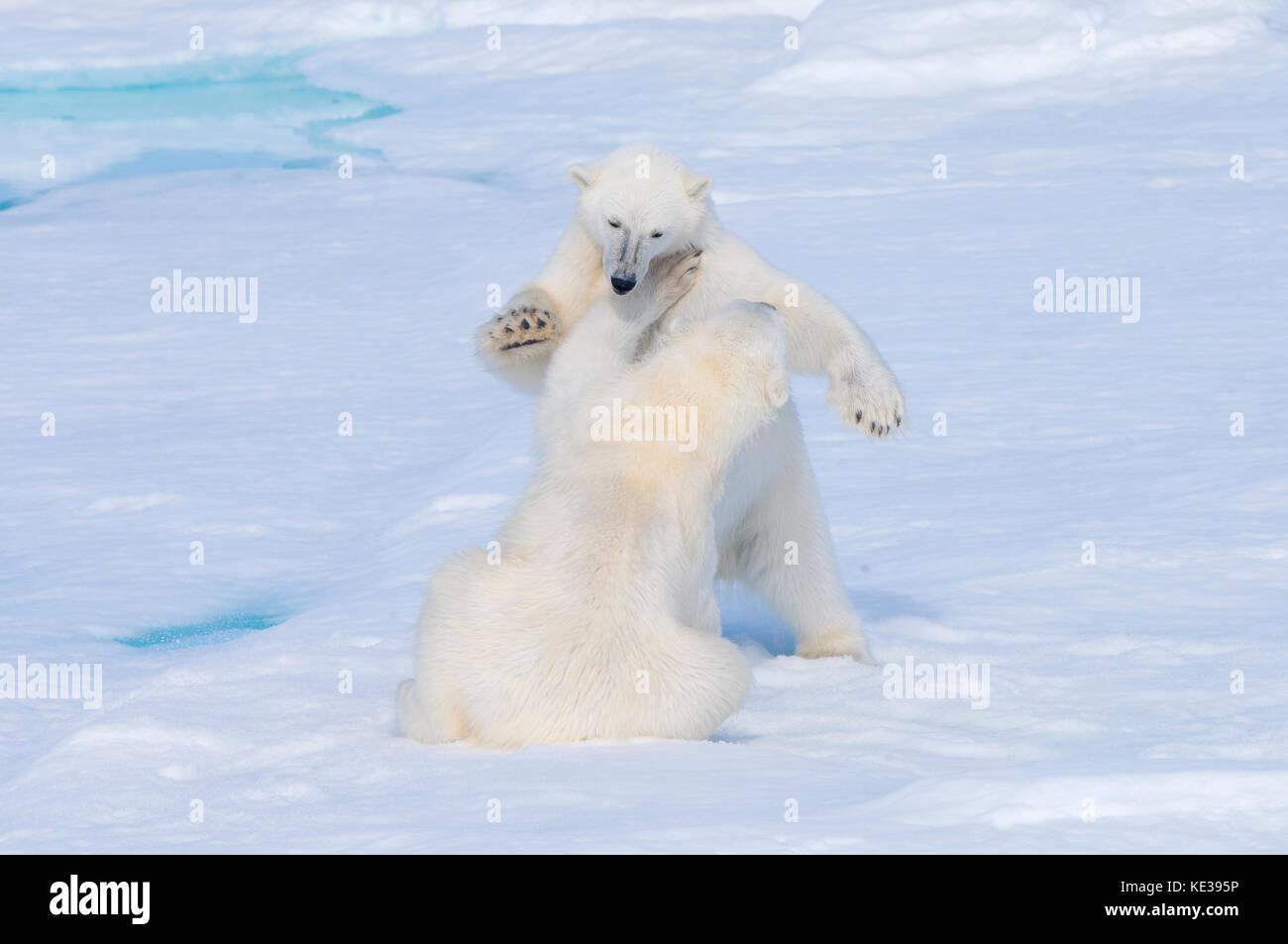 Due anni di polar bear cubs (ursus maritimus) giocando, arcipelago delle Svalbard, norvegese artico, Immagini Stock