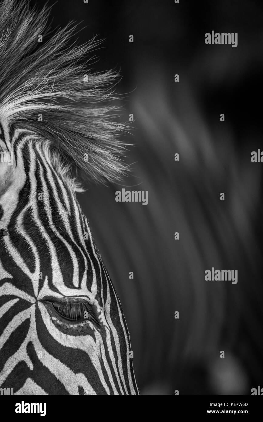 Close-Up di Grevy's Zebra (Equus grevyi) occhio e Mane; Cabarceno, Cantabria, SPAGNA Immagini Stock