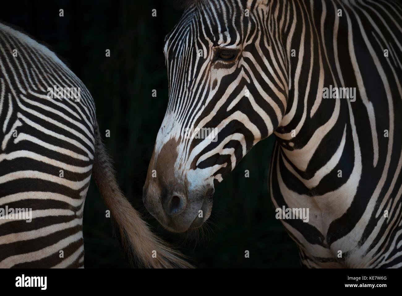 Close-Up di Grevy's Zebra (Equus grevyi) Testa e quarti posteriori; Cabarceno, Cantabria, SPAGNA Immagini Stock