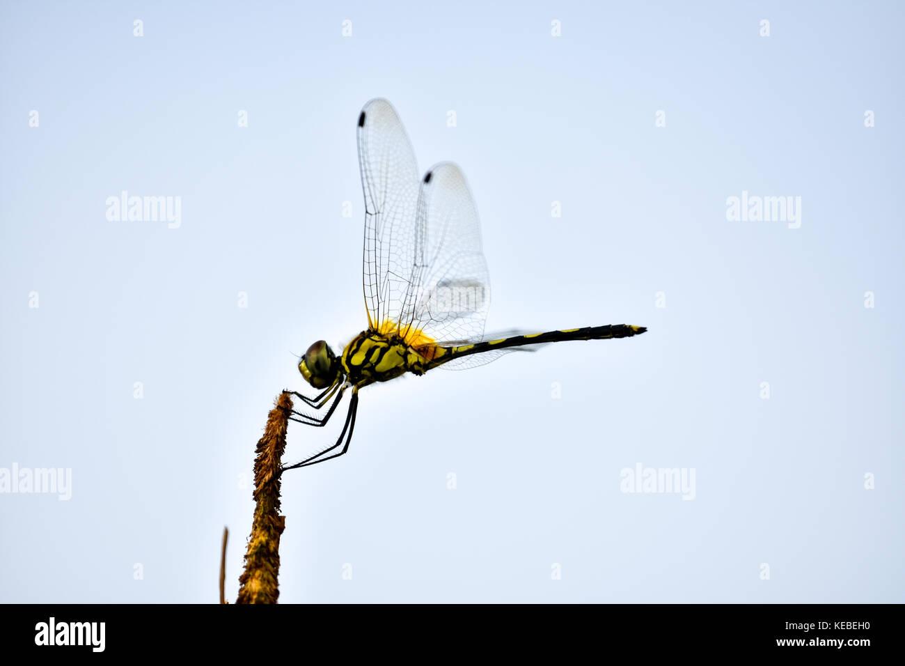 Libellula Immagini Stock