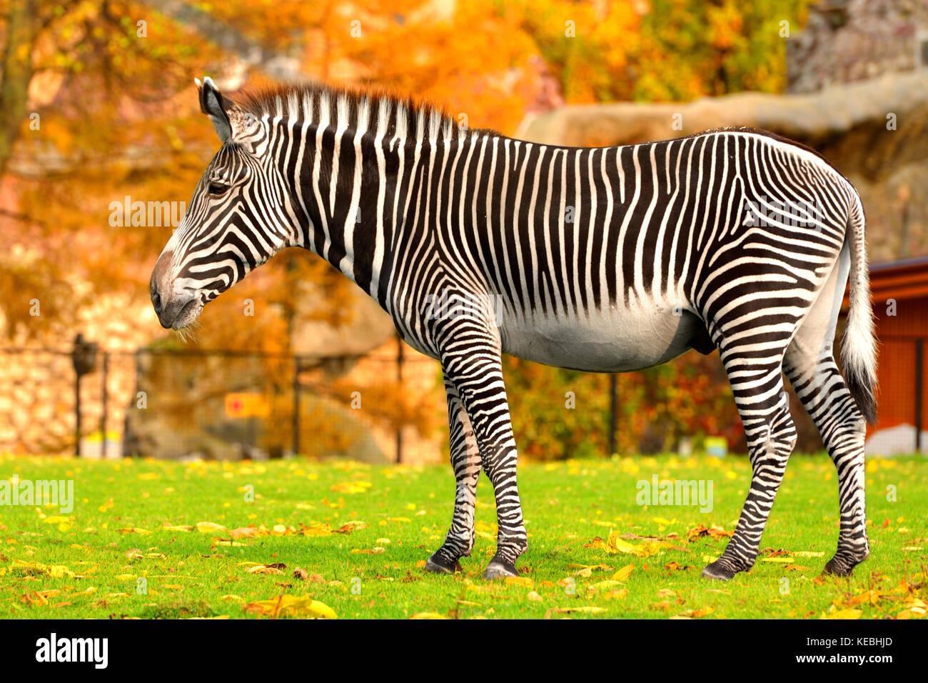 Grevy zebra (Equus grevyi), noto anche come zebra imperiale in estate indiana Immagini Stock