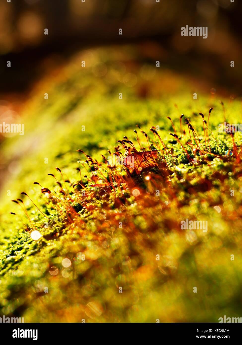Brown splendenti aghi in moss sull'albero caduto. lascia la foresta in caduta stagione in background. Immagini Stock