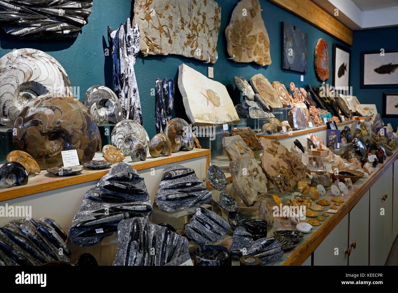 I fossili sul display, la natura della propria (fossili e minerali) negozio, Breckenridge, Colorado, Stati Uniti Immagini Stock