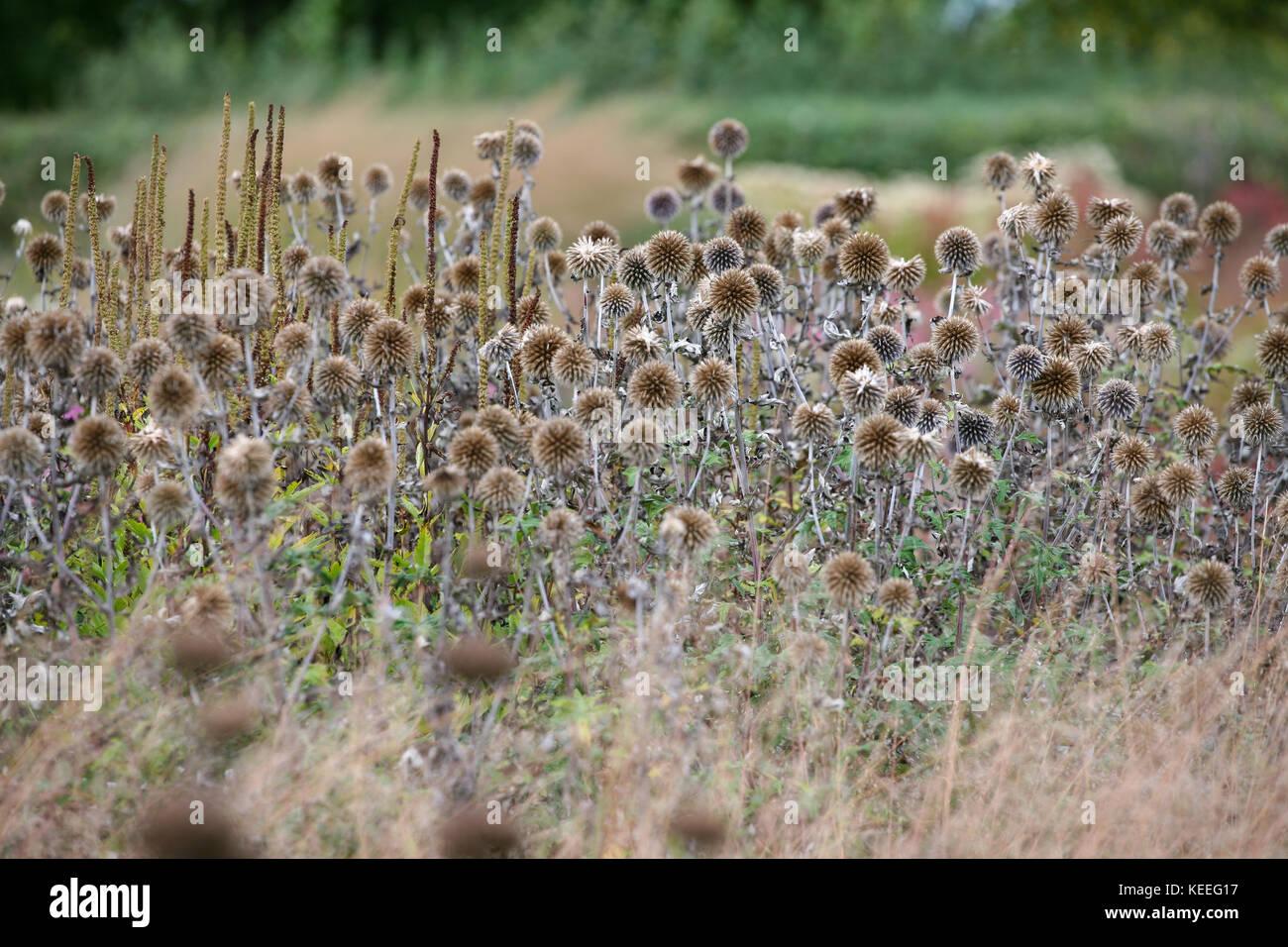 Echinops ritro teste di seme di erbe, autunno interesse nel giardino Immagini Stock