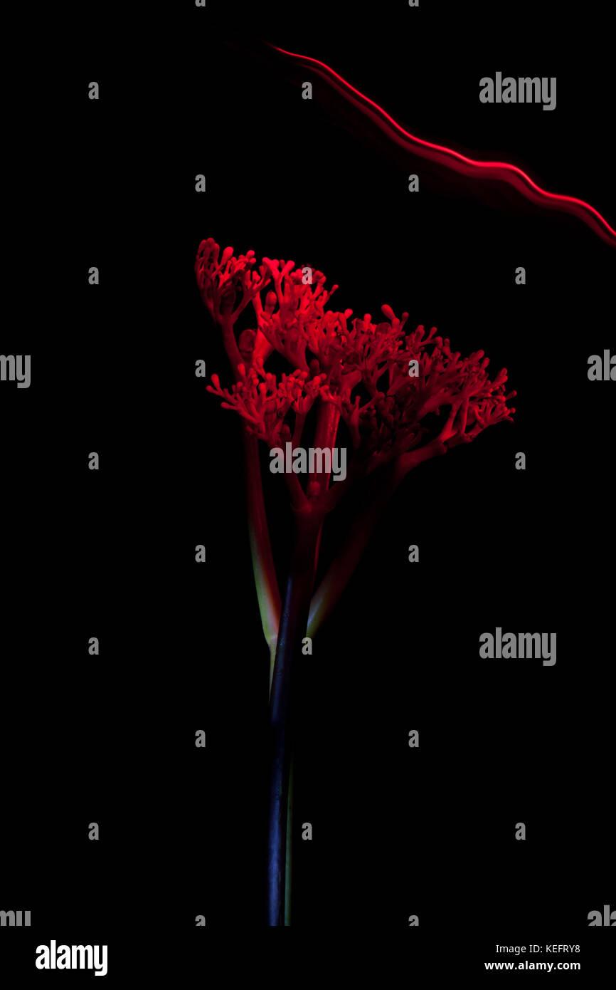 Gallo Un Fiore Rosso Su Sfondo Nero Foto Immagine Stock 163846572