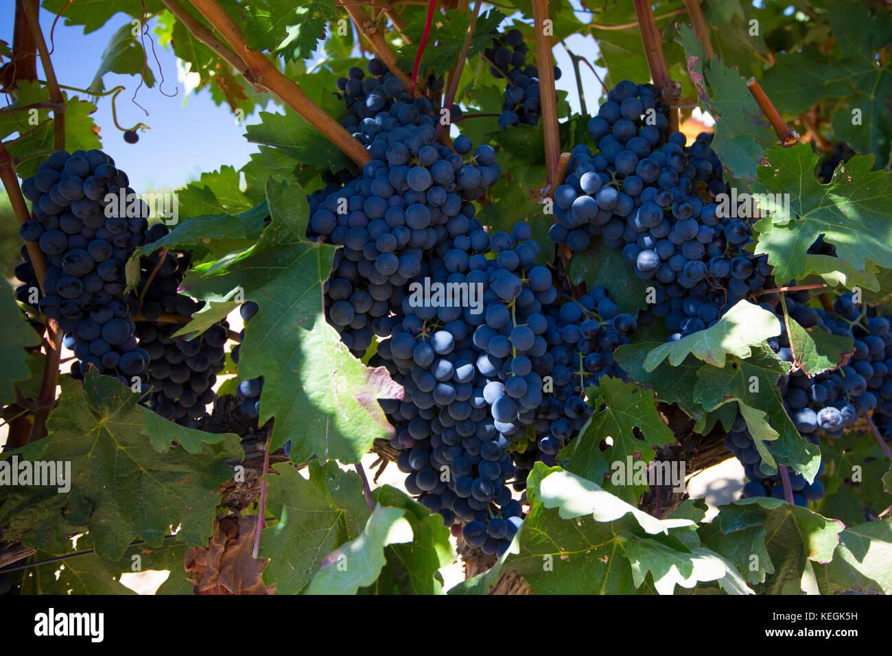 Ysios uve nere per la Rioja vino rosso in cantina a Laguardia in Rioja-Alavesa area del Paese Basco, Spagna Immagini Stock