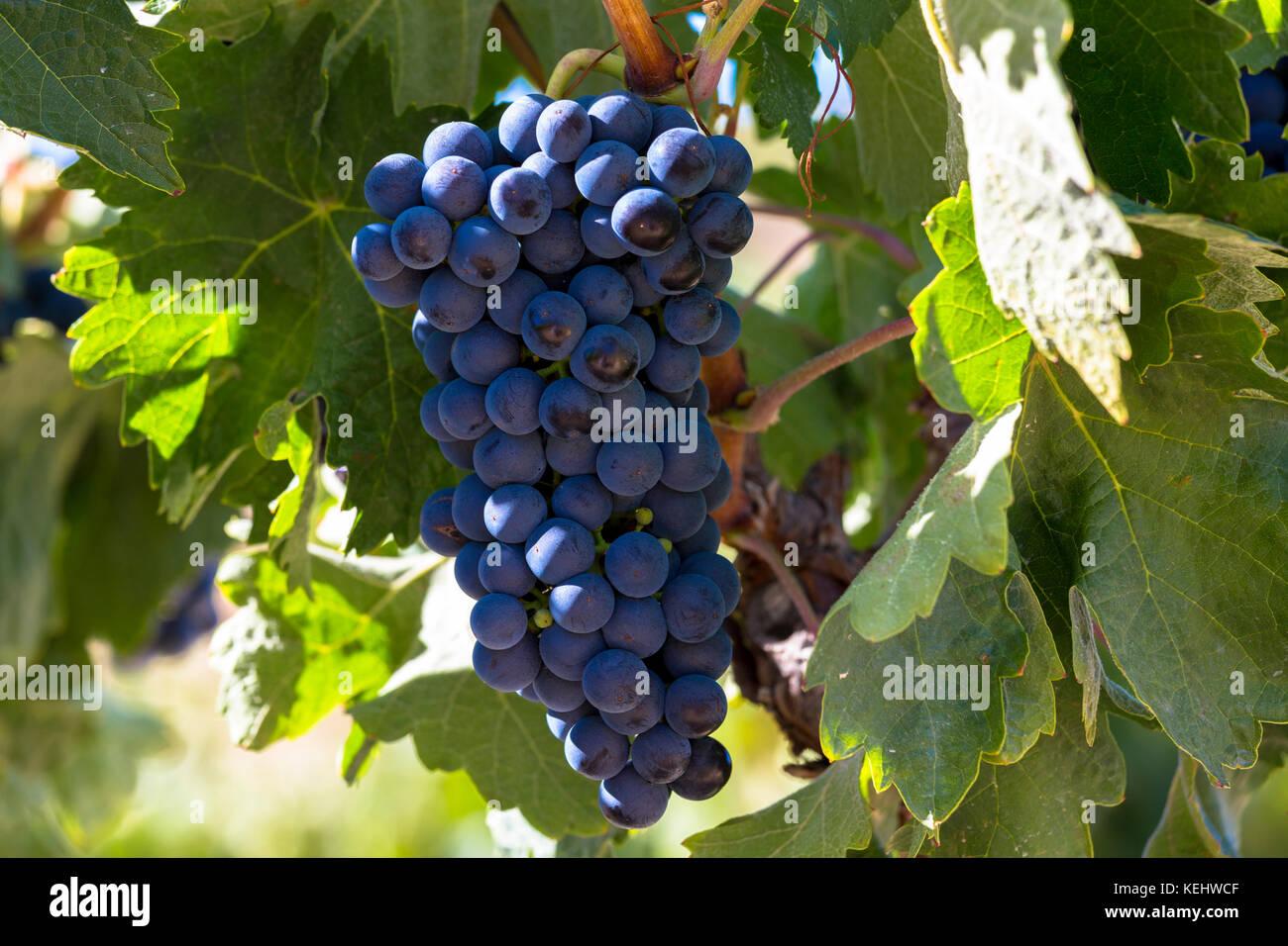 Marques de Riscal uve nere per la Rioja vino rosso a Elciego in Rioja Alavesa-area del Paese Basco, Spagna Immagini Stock