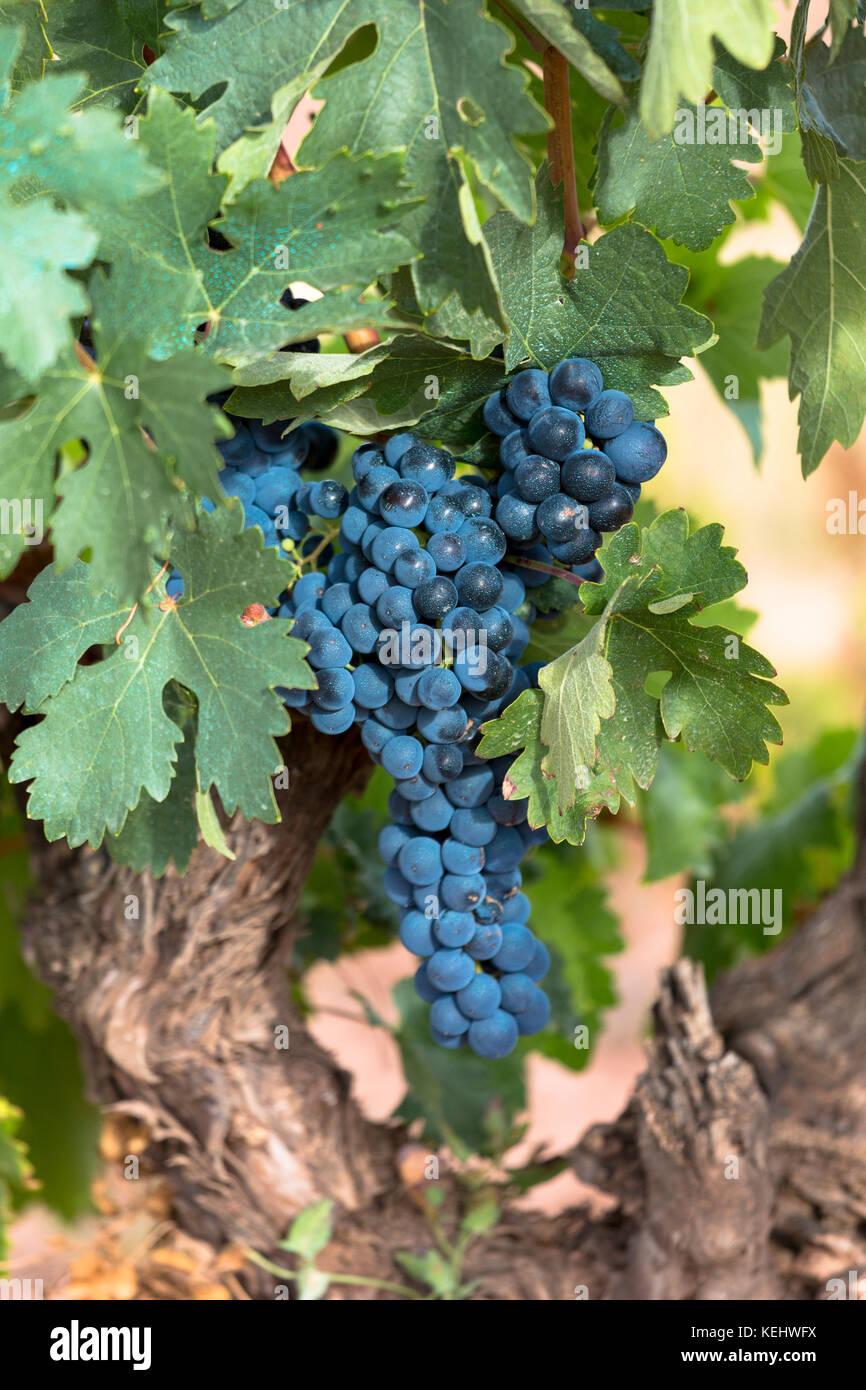 Uva nera su un vitigno lungo la Ruta del Vino strada del vino nella regione della Rioja di Spagna Immagini Stock