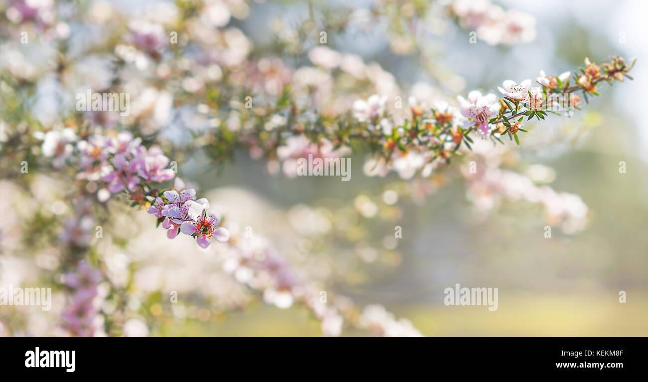 Rosa leptospermum australiano di fiori su una molla sfondo per condoglianze simpatia sullo sfondo della scheda Immagini Stock