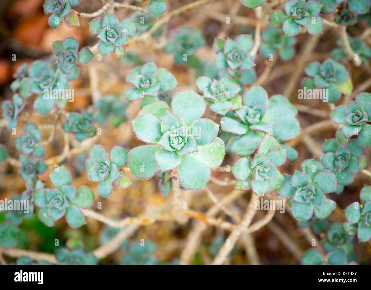 Aeonium haworthii 'kiwi' (aeonium kiwi girandola) piante succulente presso il conservatorio muttart in Edmonton, Immagini Stock