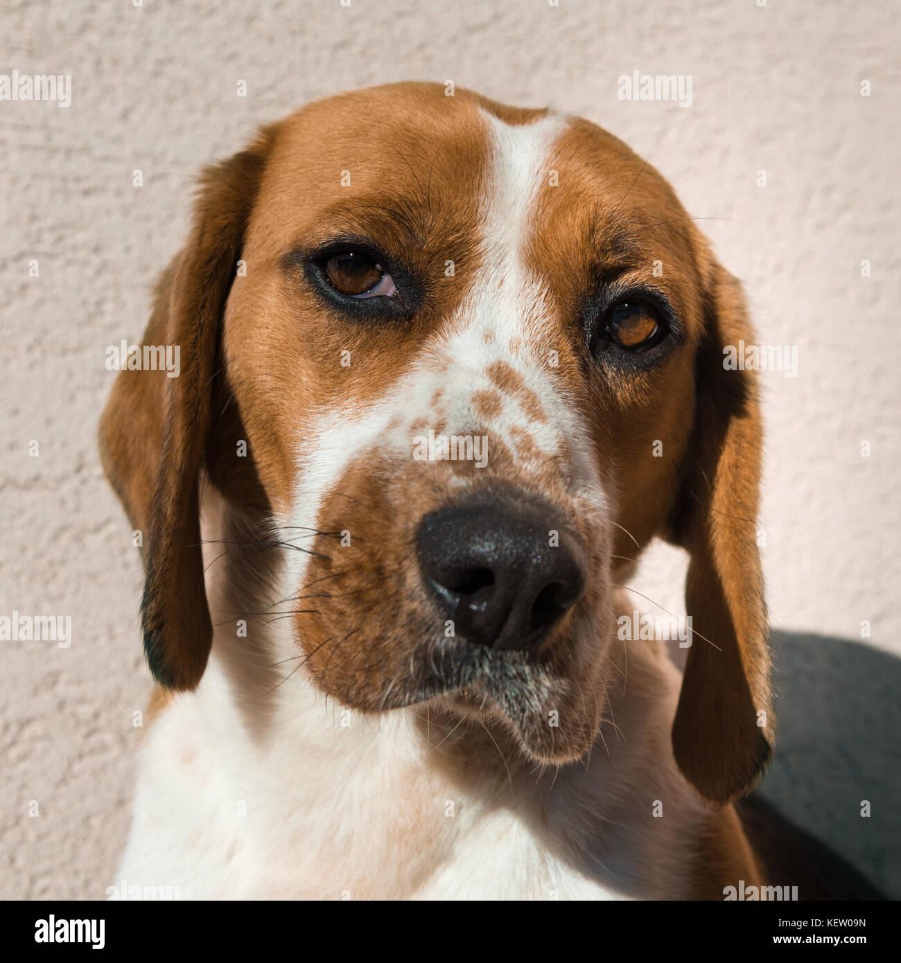 Beagle carino con occhi tristi, adozione concetto di salvataggio Foto Stock