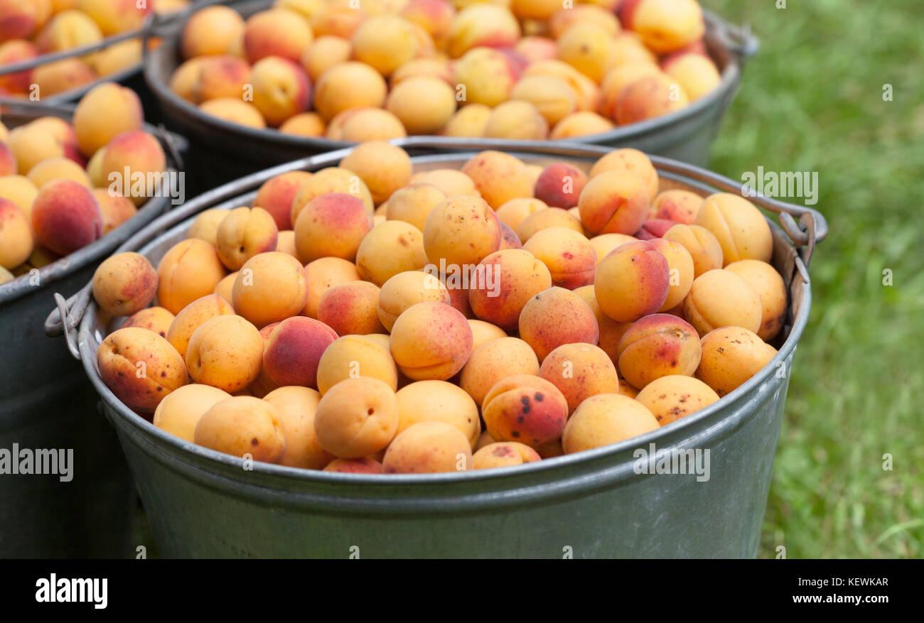 Le albicocche in un secchio. Ripe rosso arancione textured frutti di close-up. Un sano cibo organico concetto. Vista Immagini Stock