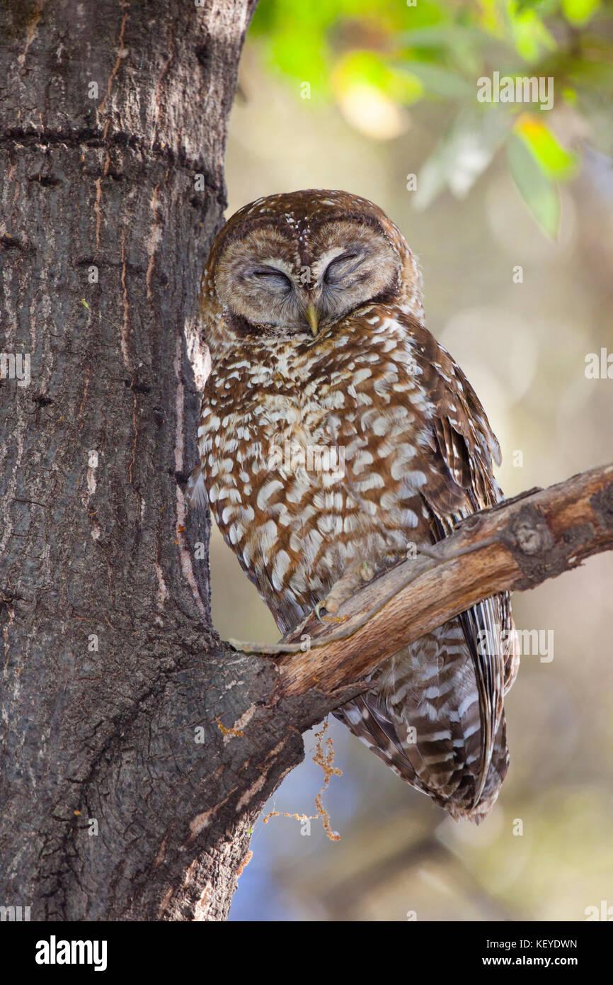 Spotted owl strix occidentalis huachuca montagne, cochise county, Arizona, Stati Uniti 4 giugno 2013 adulto titonidi Immagini Stock
