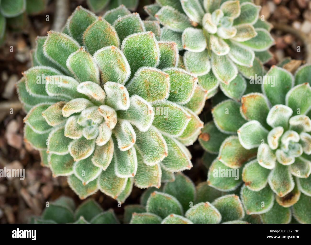"""Echeveria 'doris taylor"""" (noto anche come nebulose rose) le piante succulente presso il conservatorio muttart Immagini Stock"""