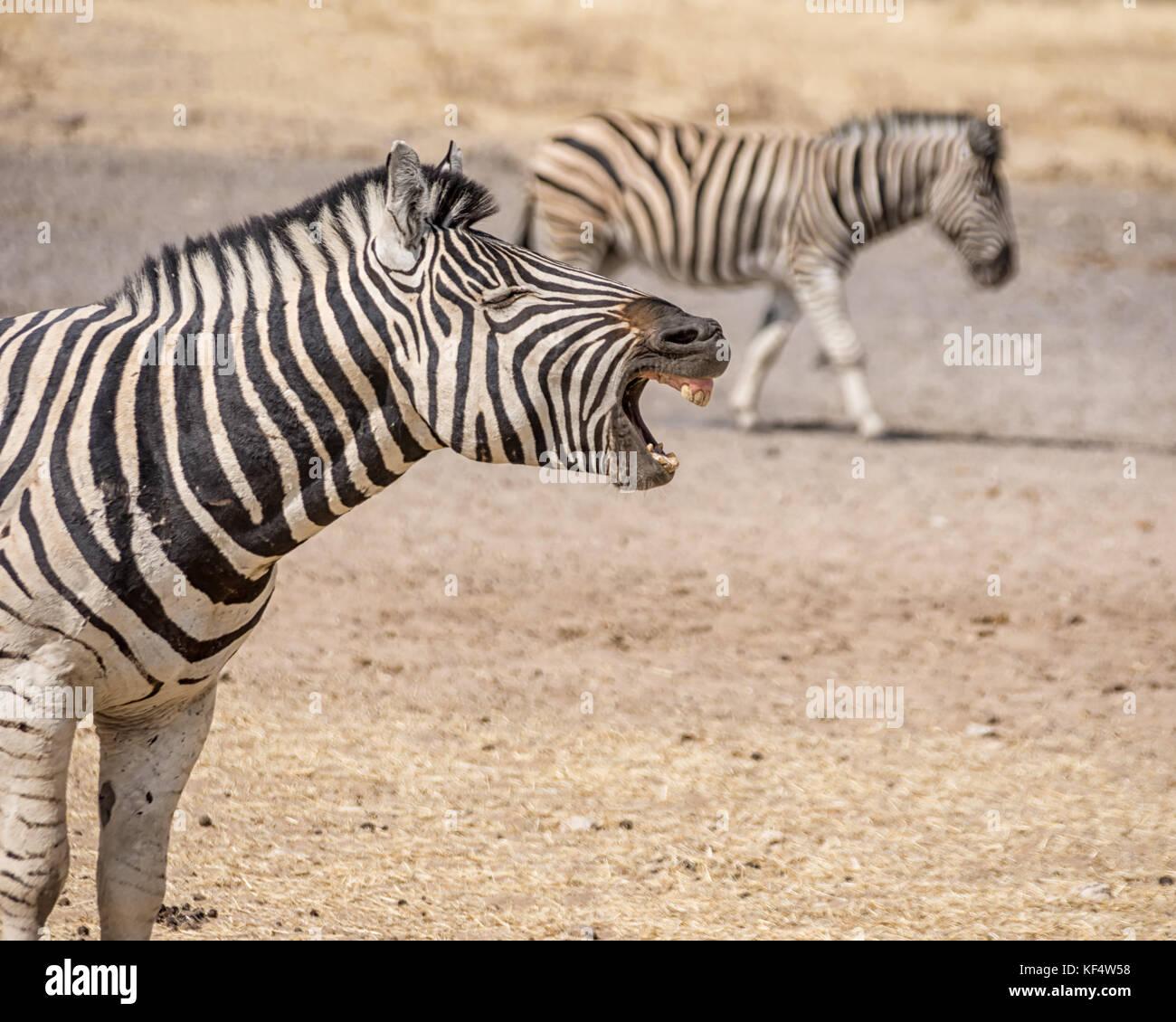 Una zebra chiamata permanente nella savana della Namibia Immagini Stock
