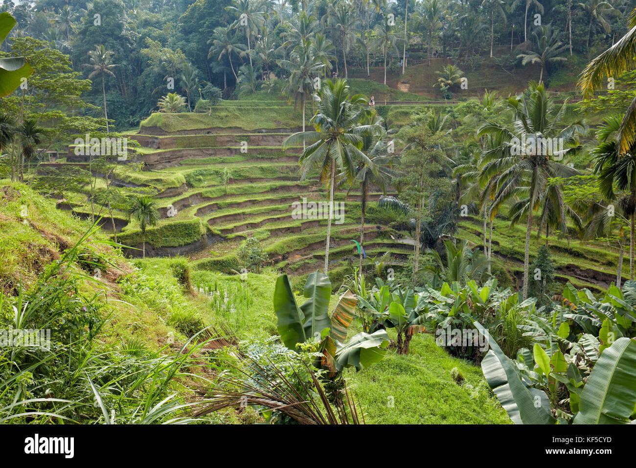 Riso Tegalalang terrazza. Villaggio Tegalalang, Bali, Indonesia. Immagini Stock