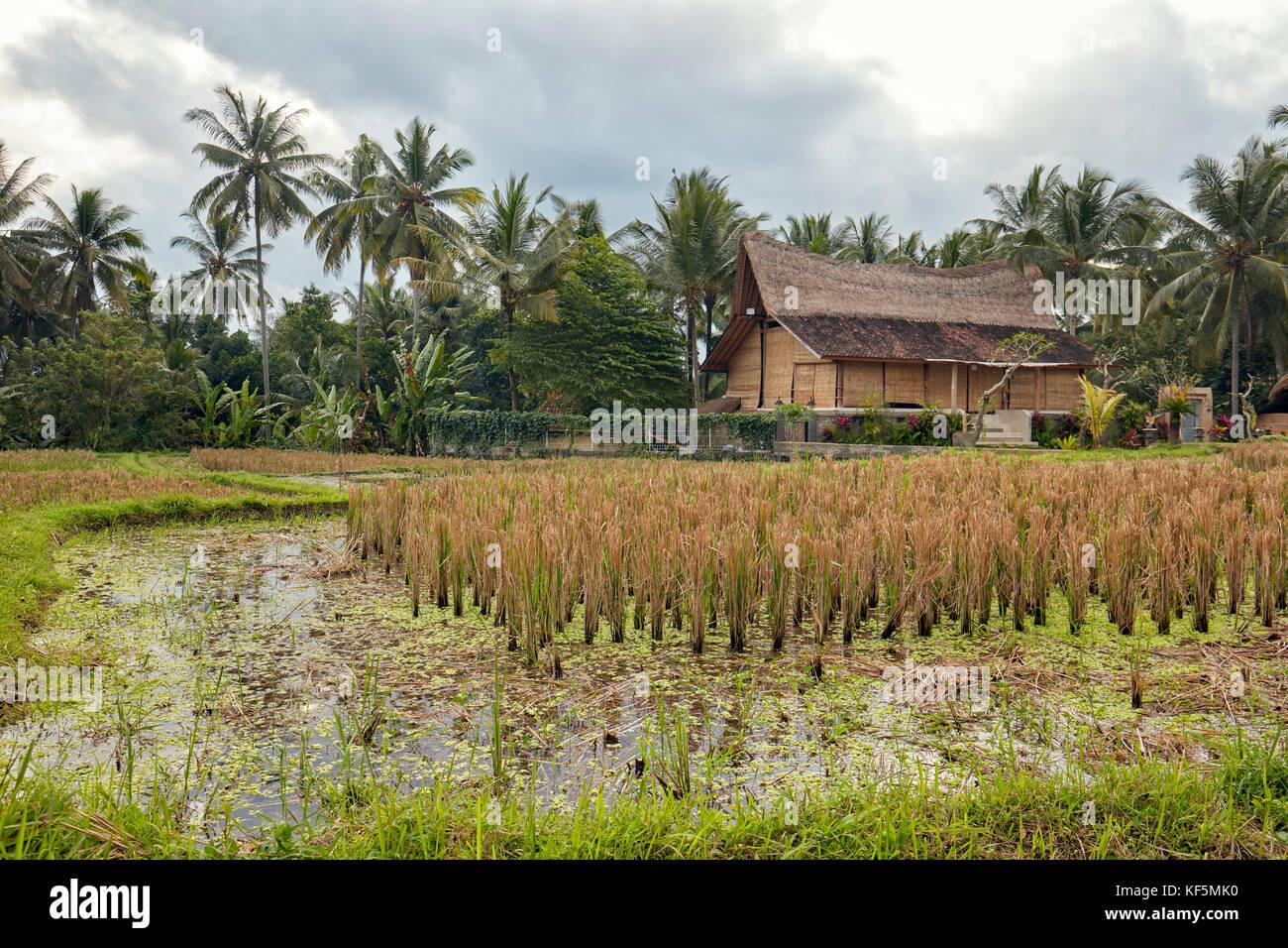 La risaia. kajeng campi di riso, ubud. Bali, Indonesia. Immagini Stock