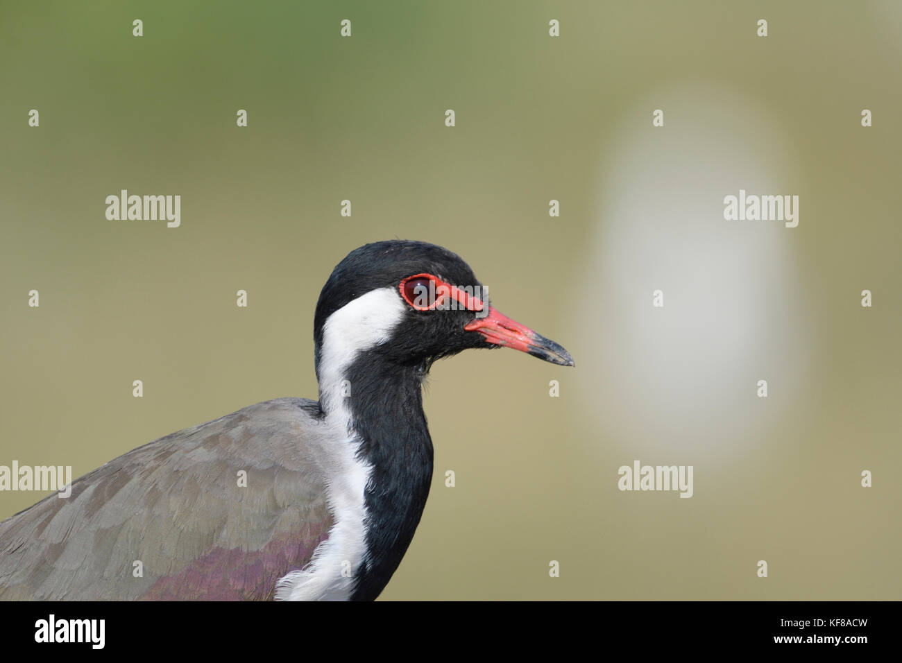 Red wattled pavoncella portret Immagini Stock