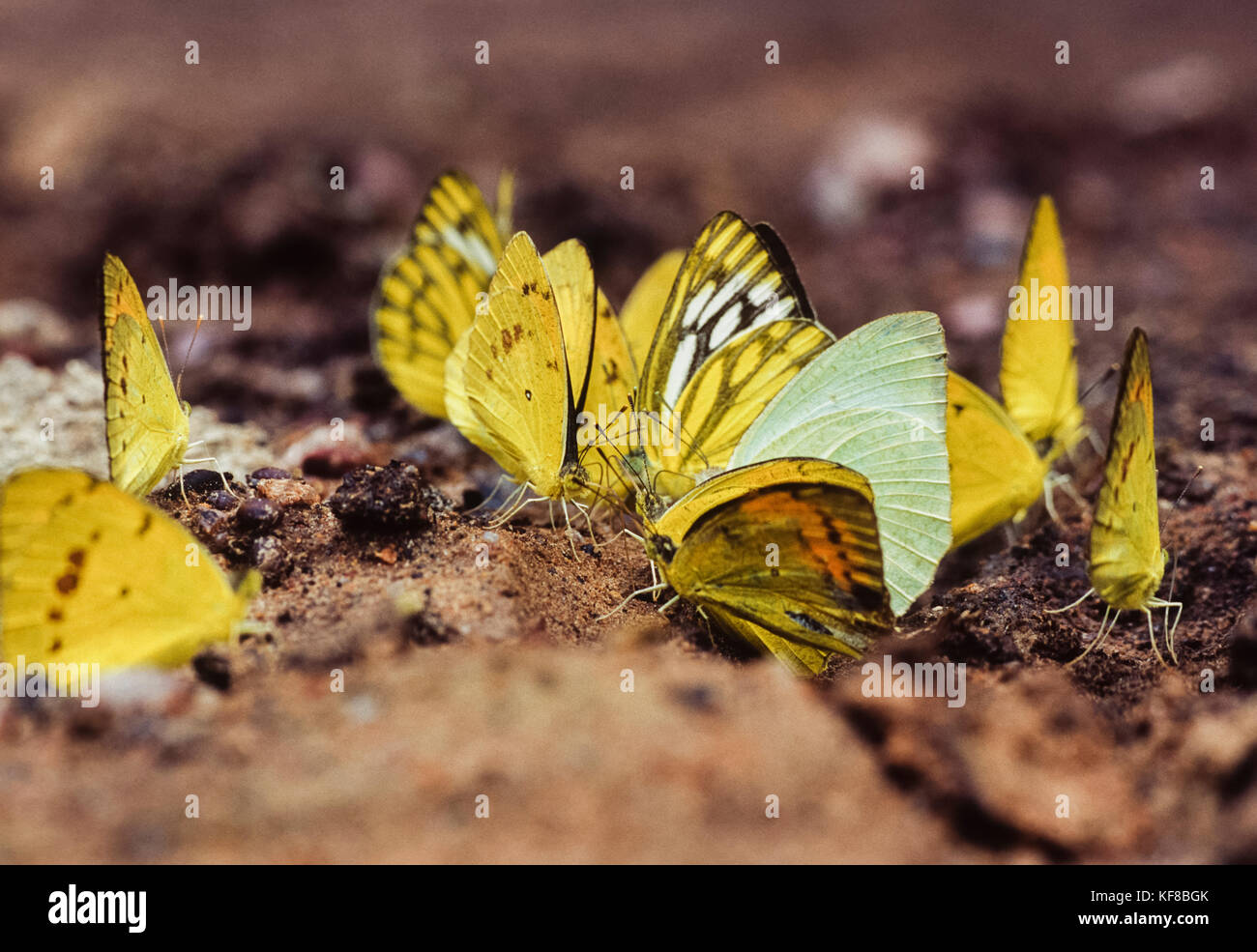 Pioneer bianco,(Belenois aurota) e comuni giallo Erba farfalle,(Eurema hecabe hecabe),copertura di fango, Keoladeo Immagini Stock