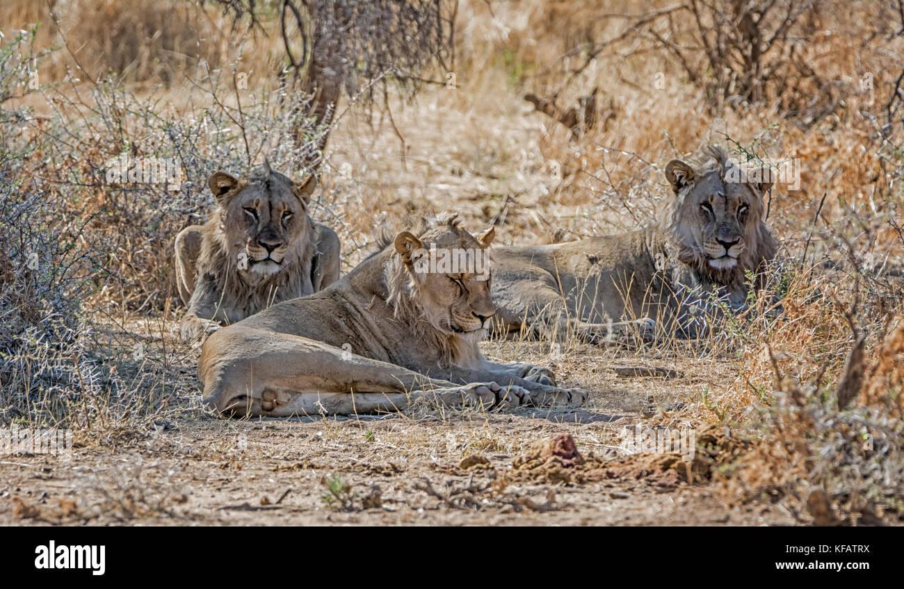 Un trio di maschi giovani leoni nella savana della Namibia Immagini Stock