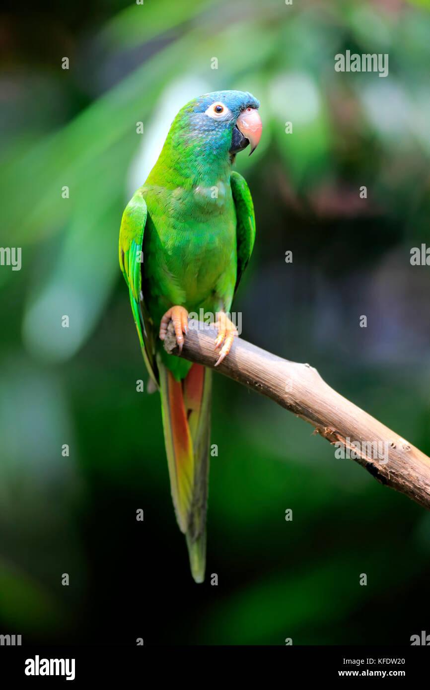 Sharp-tailed parrocchetto, (thectocercus acuticaudatus), Adulto su attendere, captive, il verificarsi del sud america Foto Stock