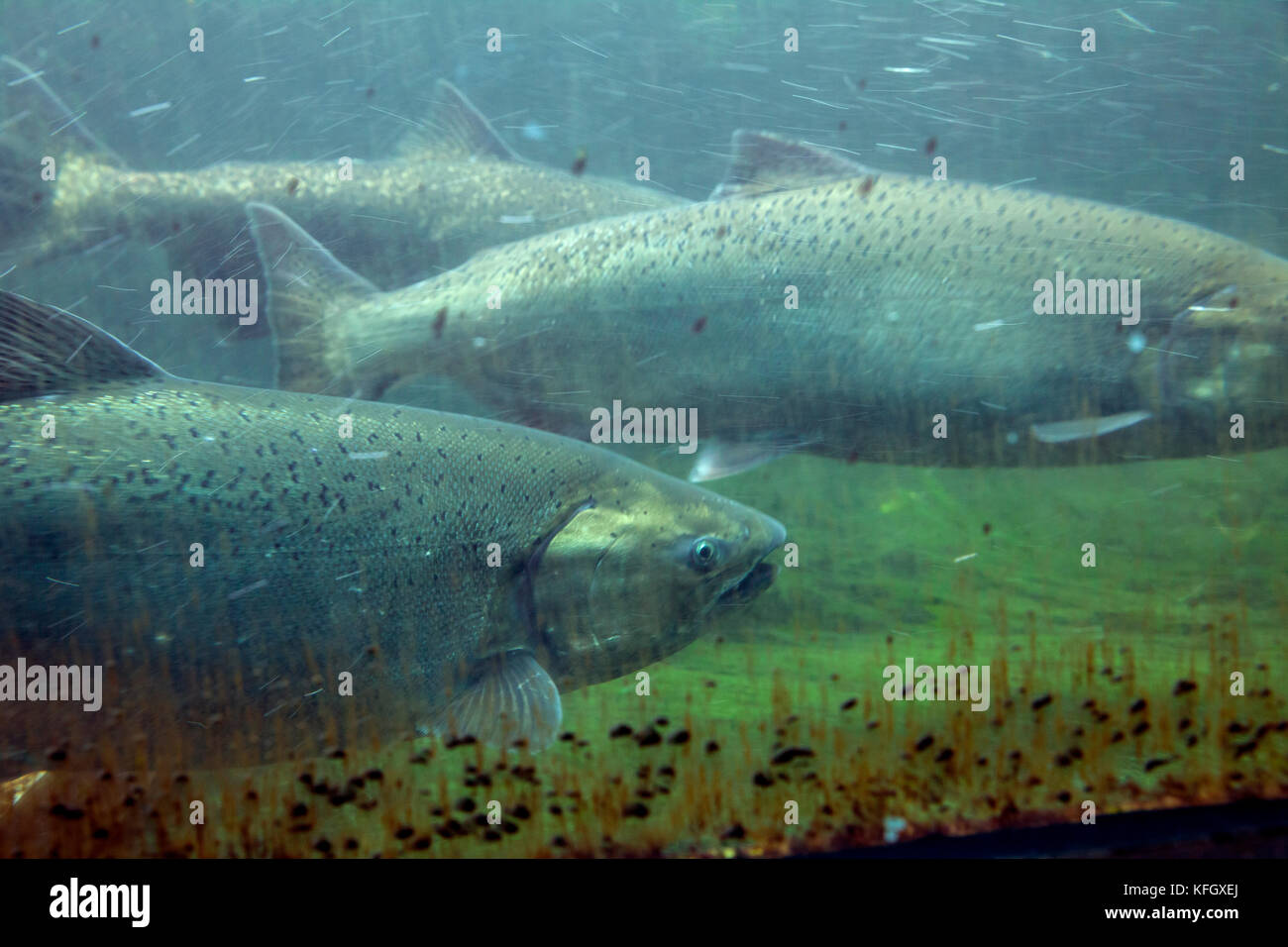 Wa14091-00...Washington - salmone che si riproduce la scaletta di pesce a hiram m. chittenden blocca in ballard Immagini Stock