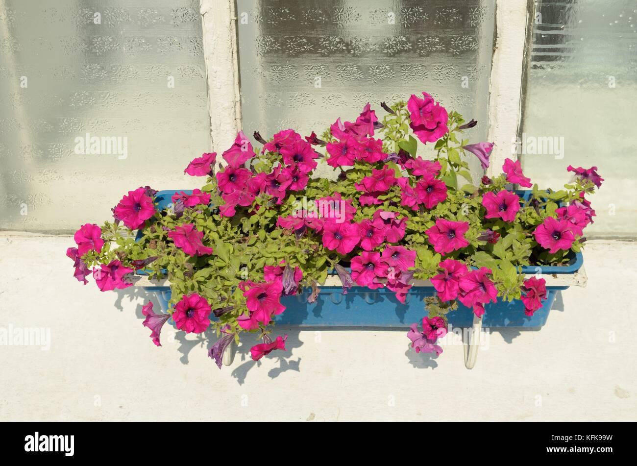 Fiori Che Amano Il Sole sul davanzale della finestra è un vaso per fiori.ci sono