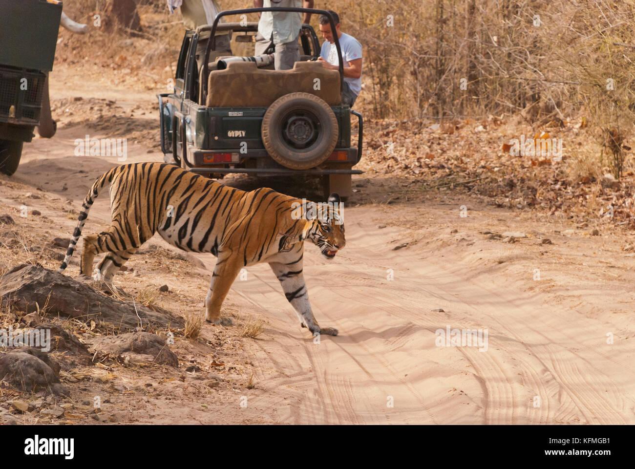 Una femmina di tigre che attraversa il percorso di safari durante una calda giornata estiva all'interno bandhavgarh Immagini Stock