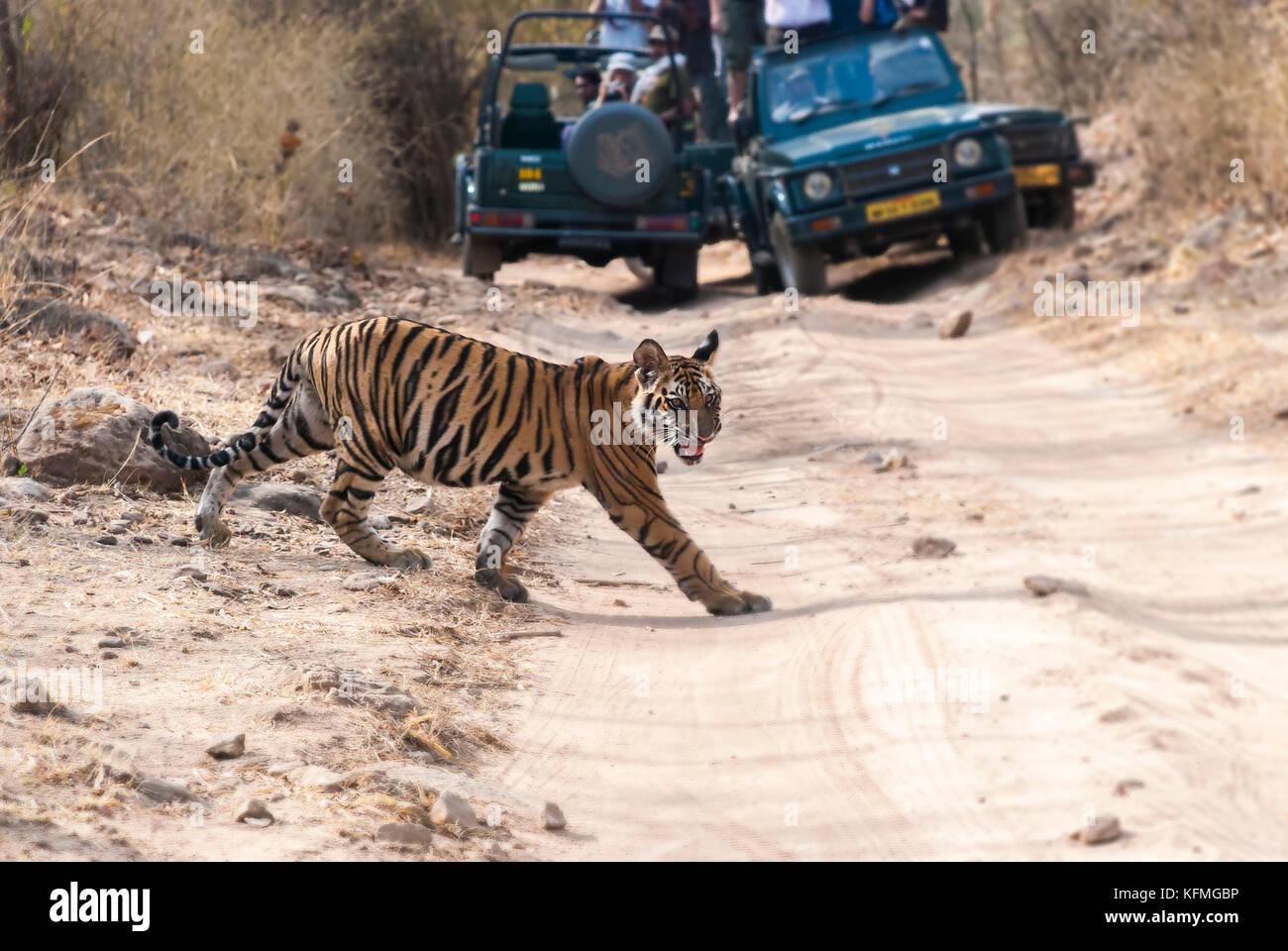 Tiger cub attraversando il safari via all'interno bandhavgarh national park in una calda giornata estiva Immagini Stock