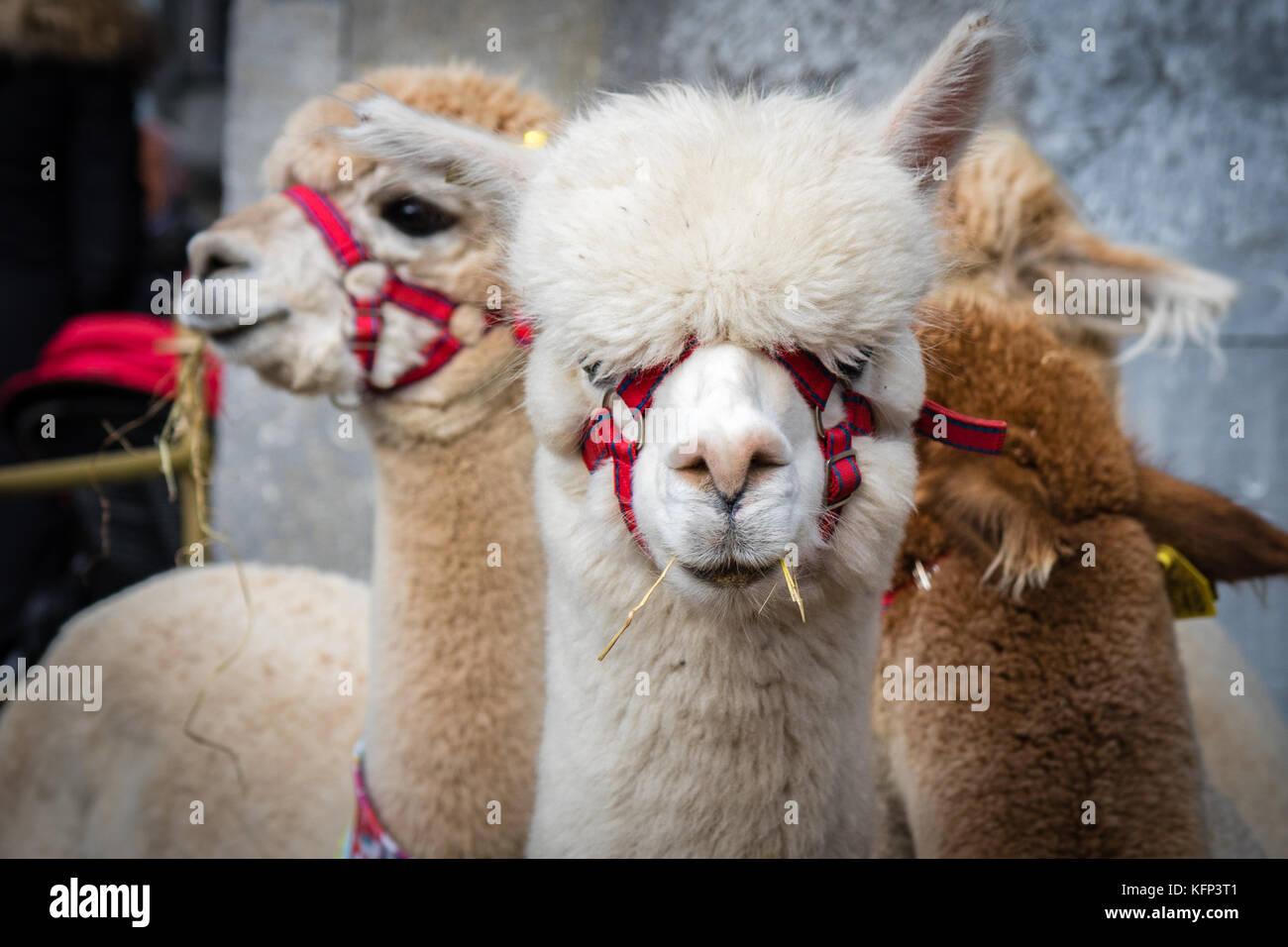 L'alpaca ha creato molto interesse in mostra a gustare il cibo di kilkenny festival, kilkenny, Irlanda il 27 Immagini Stock