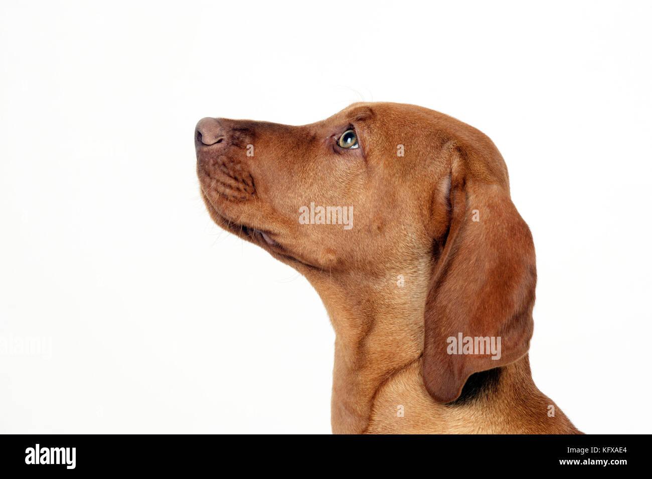 Cane - vizsla ungherese cucciolo (colpo alla testa) Immagini Stock