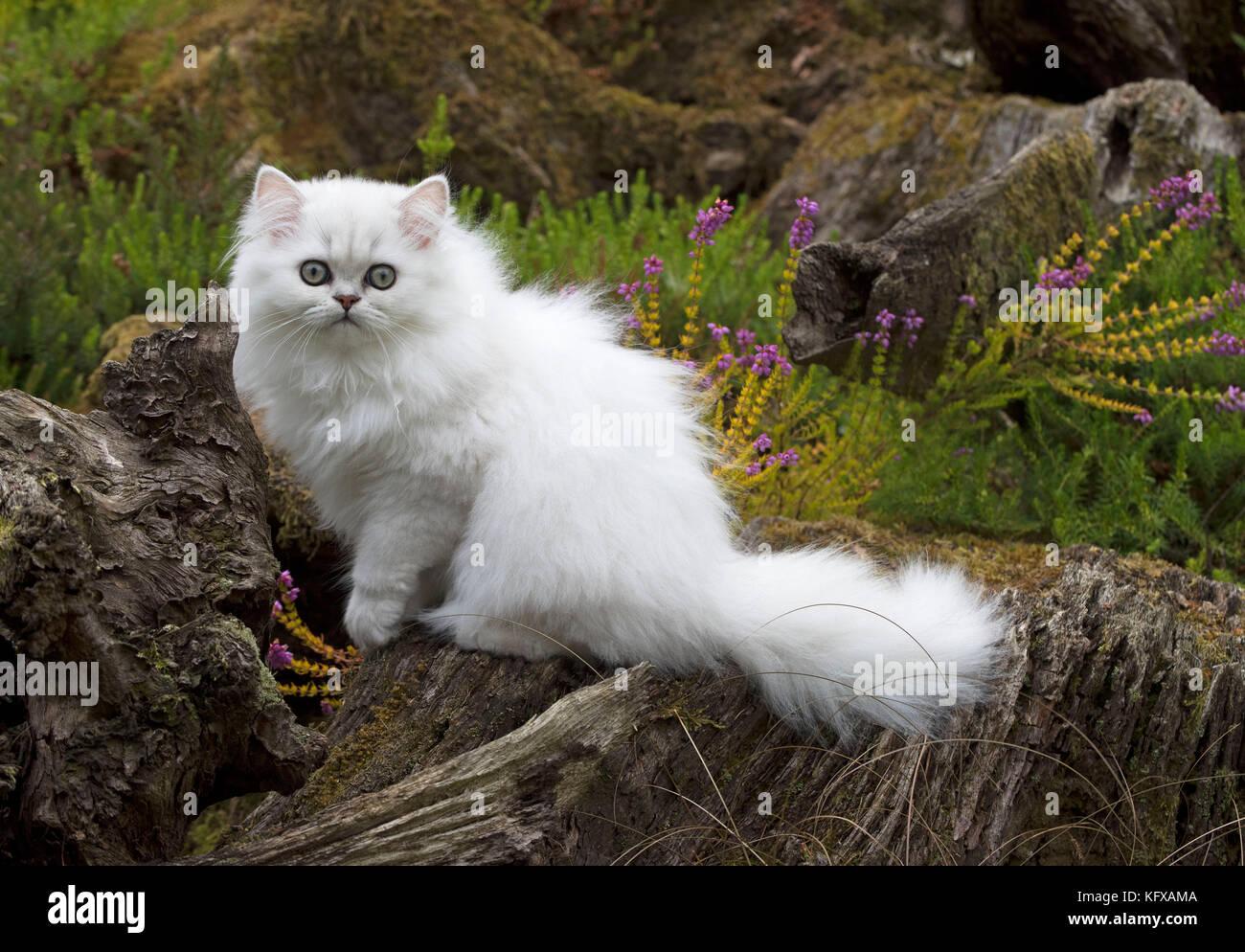 Gatto Persiano Chinchilla Nero Bianco Con Punta 14 Settimane Vecchio