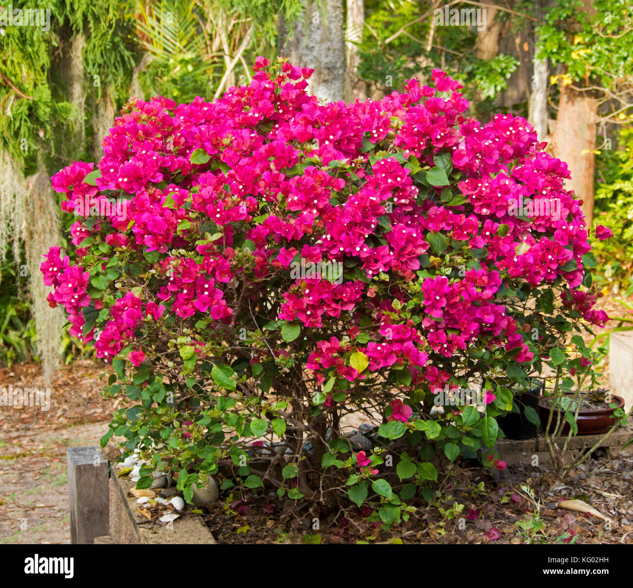 Il Bougainvillea Bambino U0027bokayu0027, Arbusto Sempreverde Coperto Con La Massa  Di Vividi Fiori Rossi Nel Giardino Sub Tropicale In Australia
