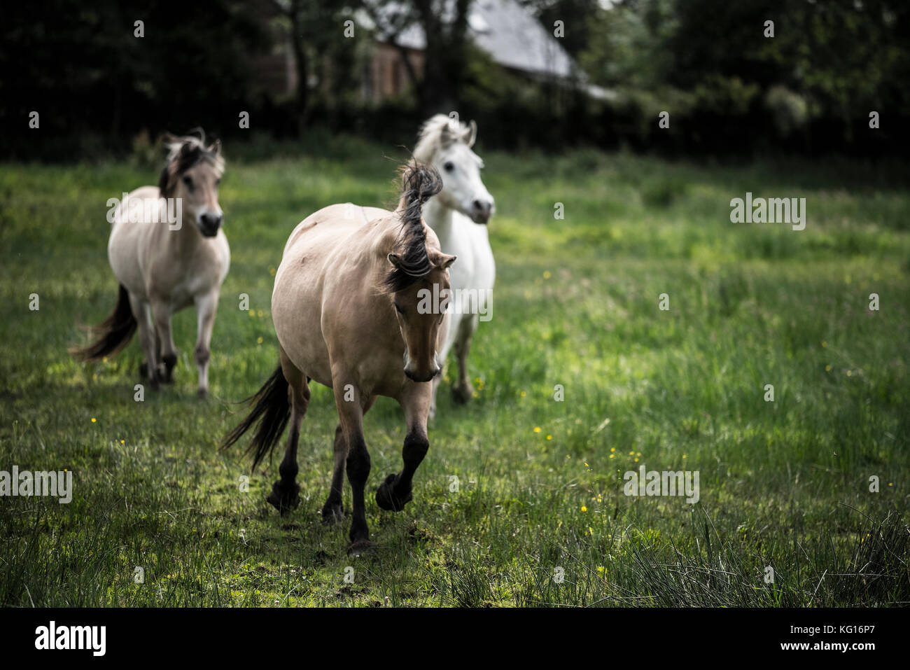 Cavalli in esecuzione insieme alla velocità nella campagna francese Immagini Stock