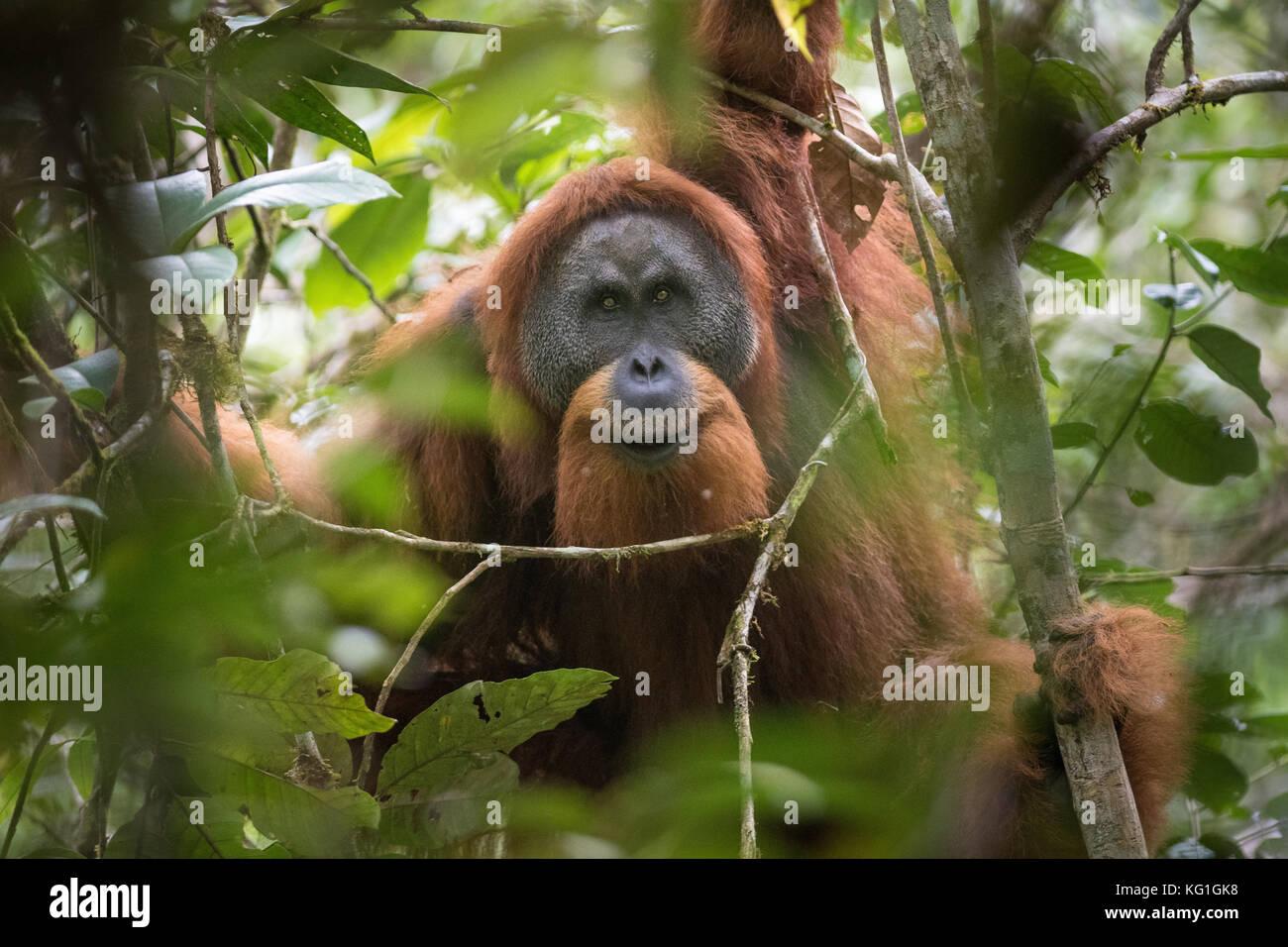 Togos, il maschio alfa dell'area. nuove specie orangutan scoperto in batang toru, Nord Sumatra. Essi sono sull'orlo Immagini Stock