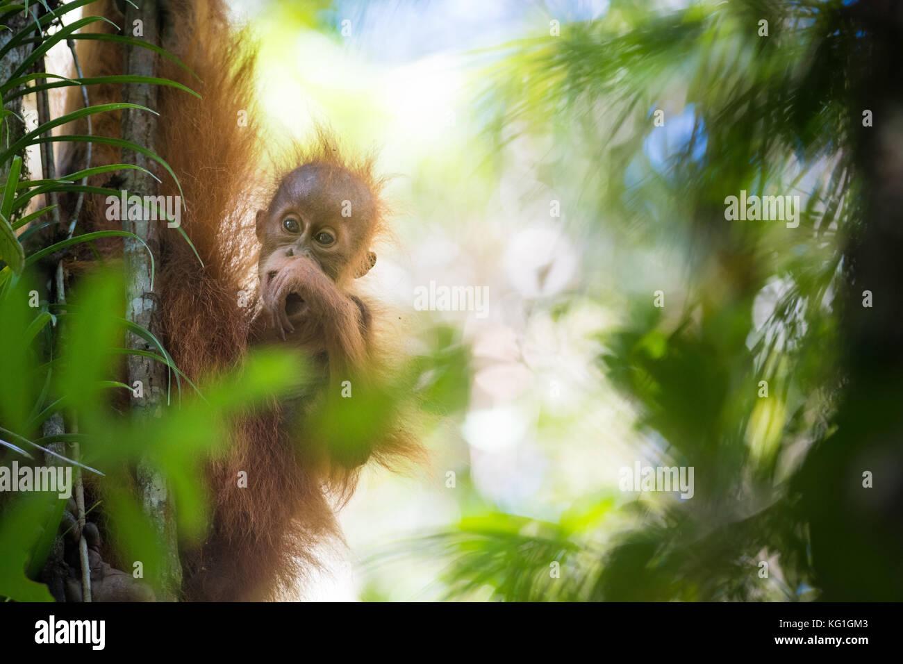 Beta, una femmina adulta Orango Tango con i suoi due anni di infantile, bitang. nuove specie orangutan scoperto Immagini Stock