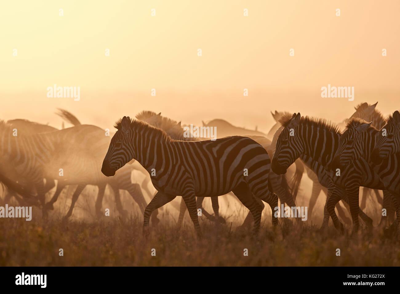 La migrazione, zebra comune (zebra pianeggiante) (zebra di Burchell) (Equus burchelli), Parco Nazionale Serengeti, Foto Stock
