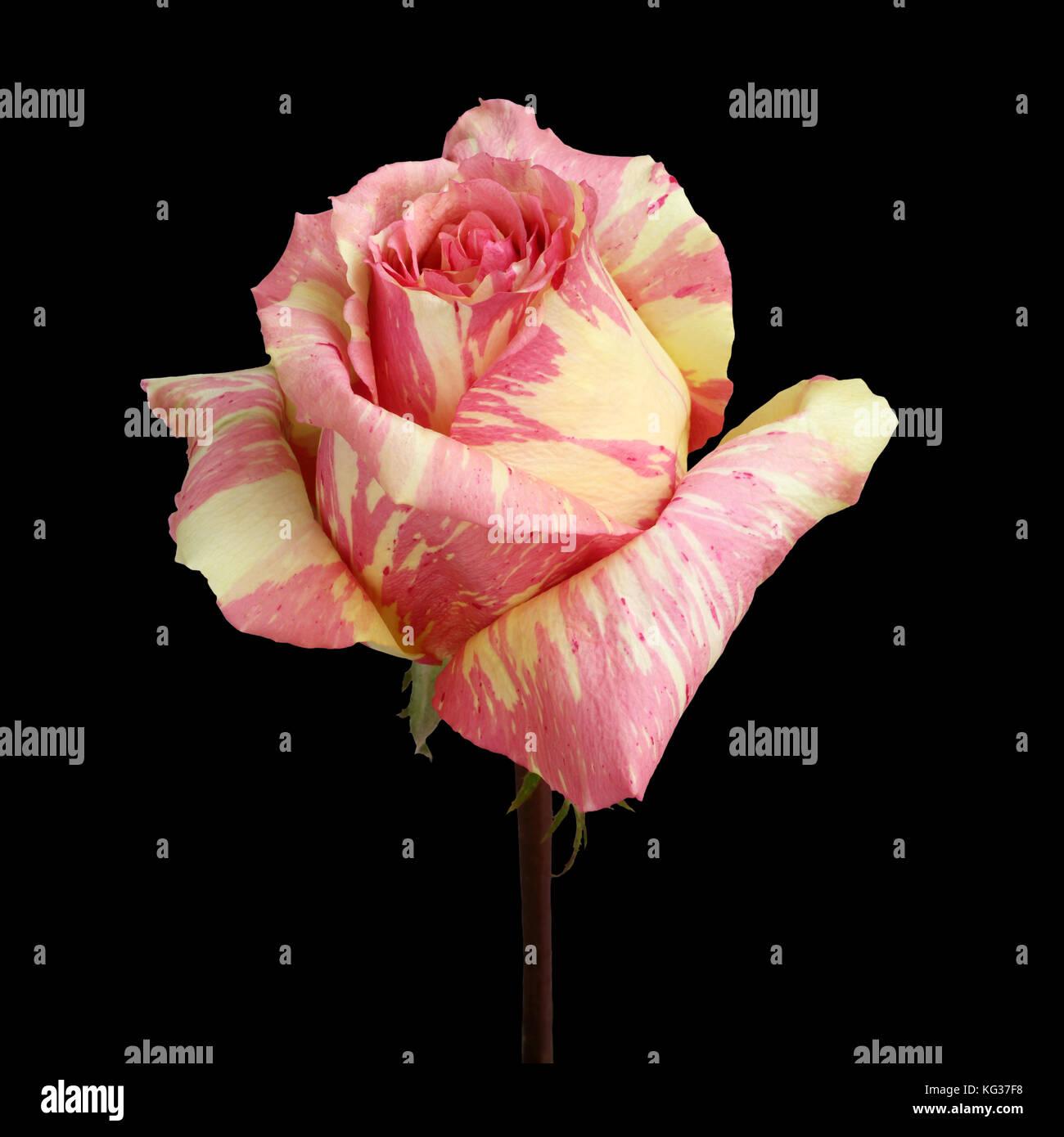 Rosa Con Marmo Giallo Rosa Su Sfondo Nero Foto Immagine Stock