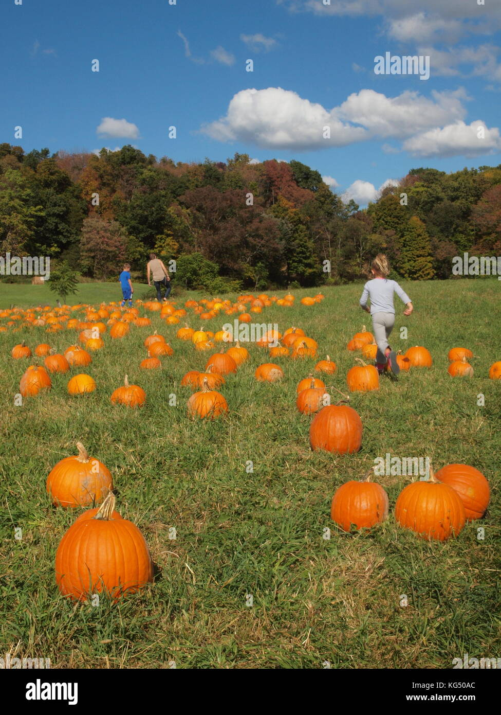 Campo di zucca in Sussex County, New Jersey Foto Stock