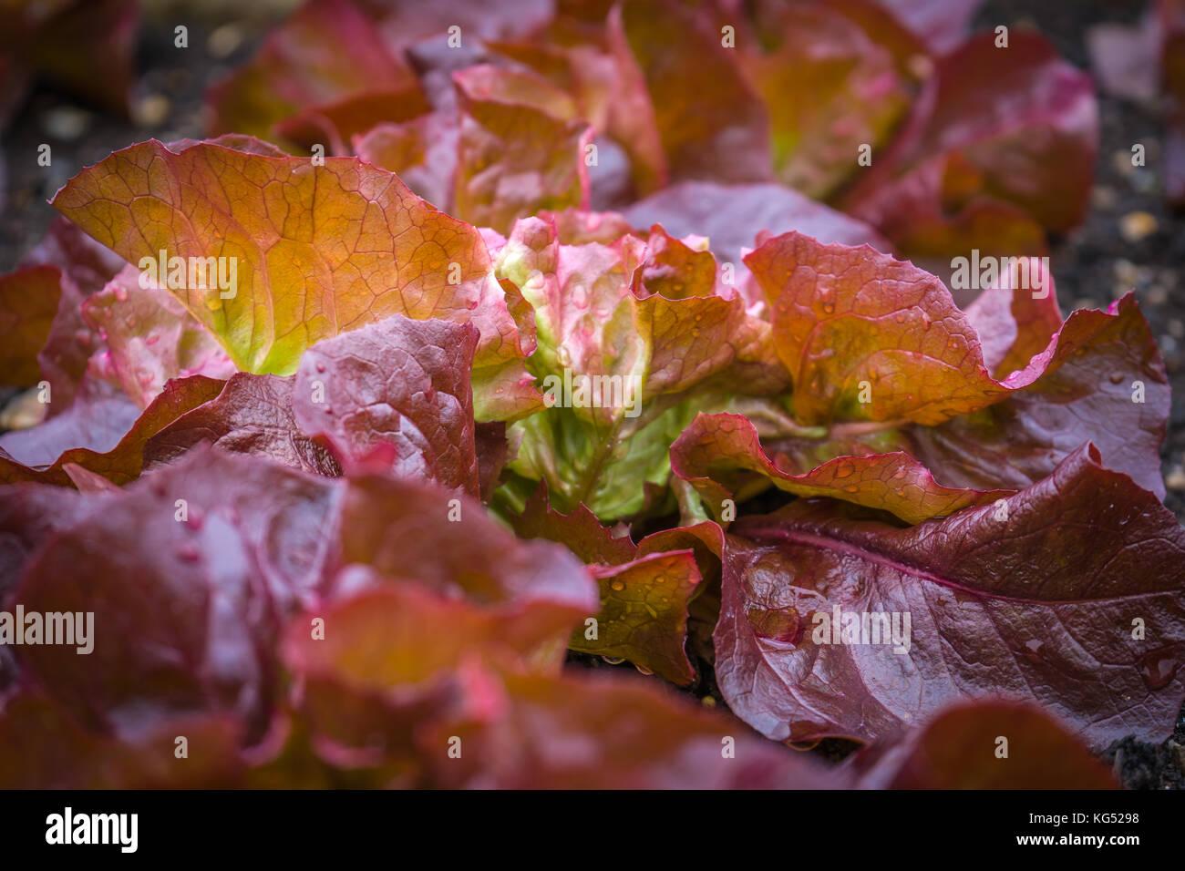 Red Leaf lattughe sono un gruppo di cultivar di lattuga con foglie rosse. Immagini Stock